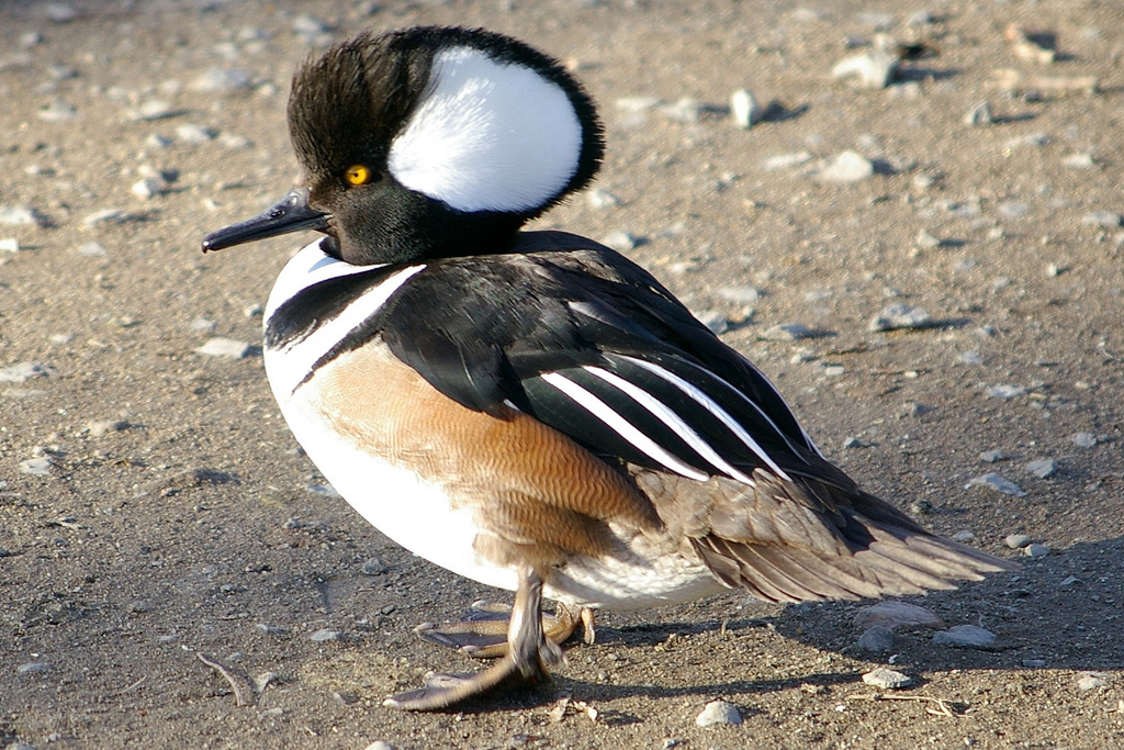 Hooded Merganser. Photo from animalspot.net // click the picture to follow the link.
