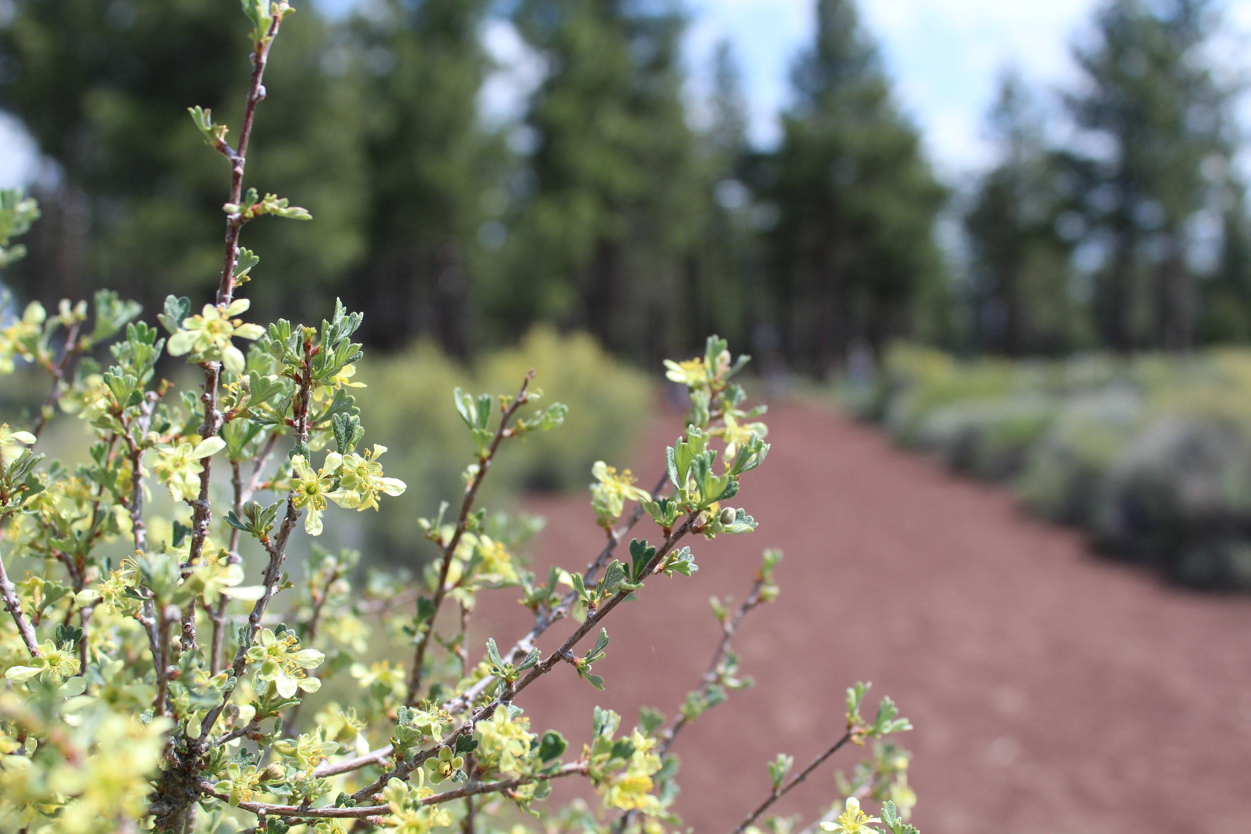 Oregon Bitterbrush in the High Desert