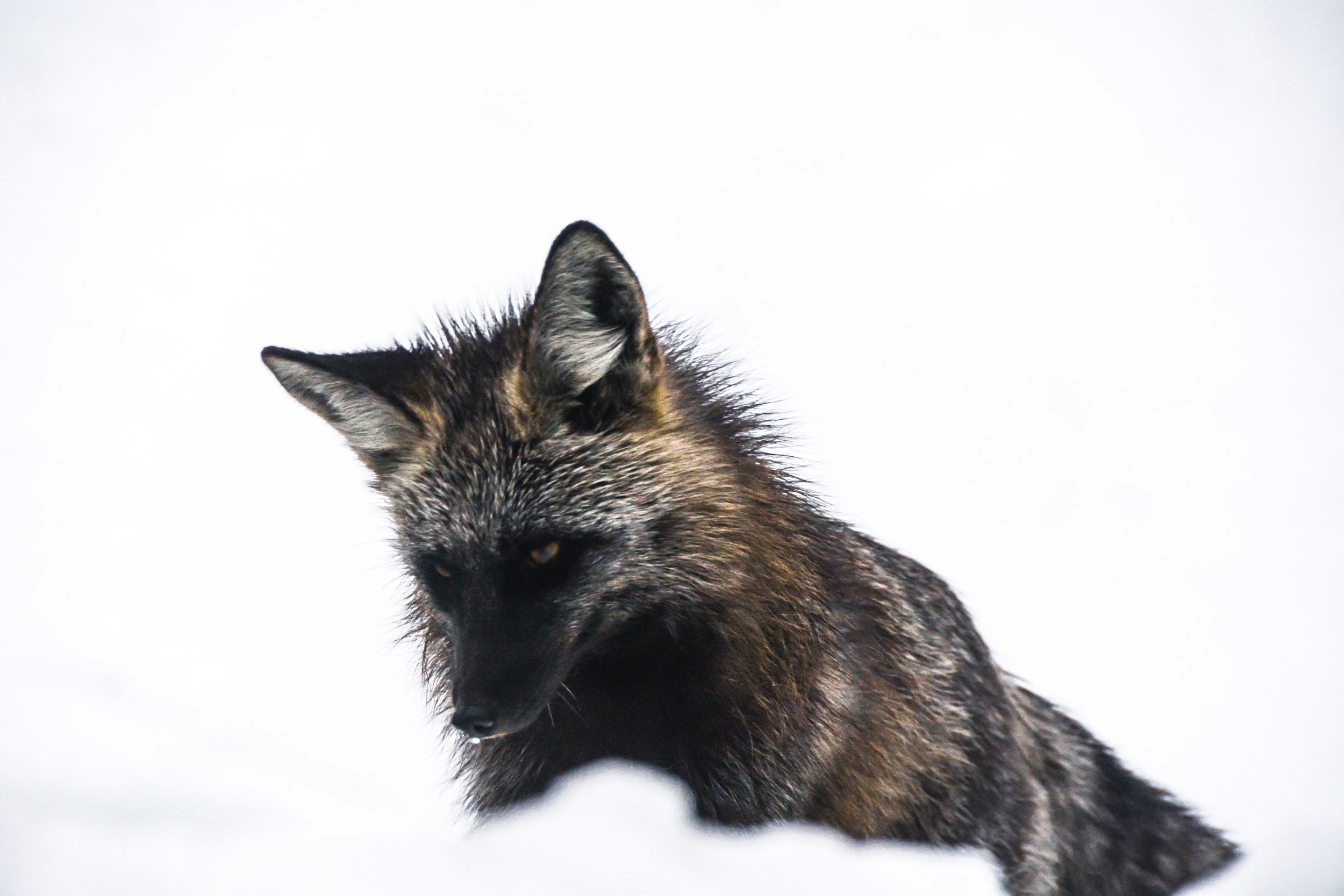 Red Fox in Bend
