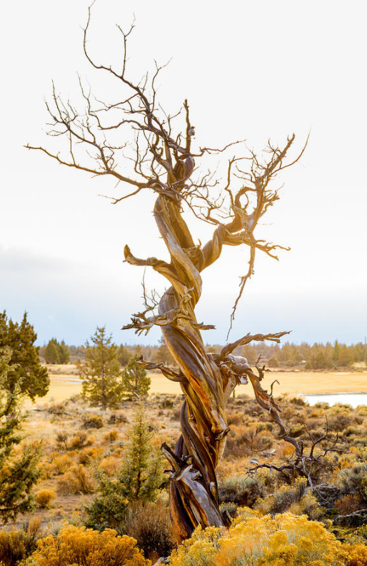 Juniper-Tree-Trunk-Oregon