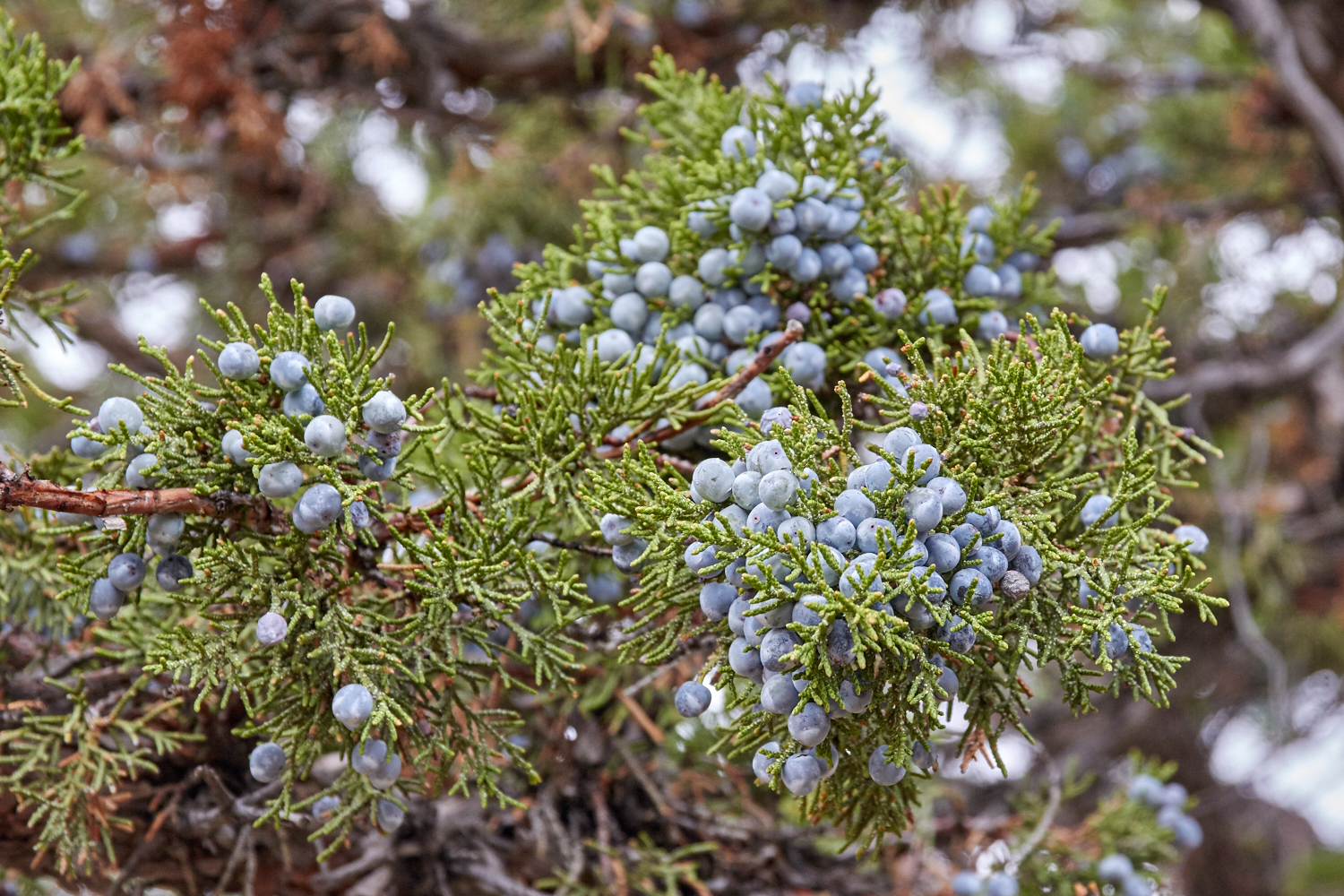 juniper-berries-oregon