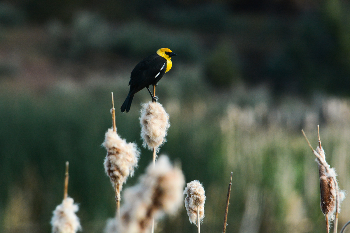 A Yellow-Headed Blackbird. Photo by  Chaney Swiney .