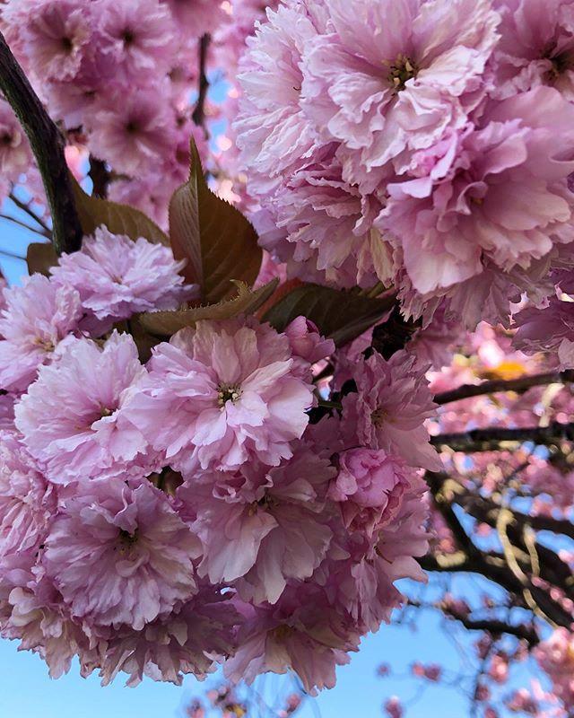 Monday feeling ändå! 🌸 ———————————————————————— #mondayfeeling #sakura #körsbärsblommor #pink
