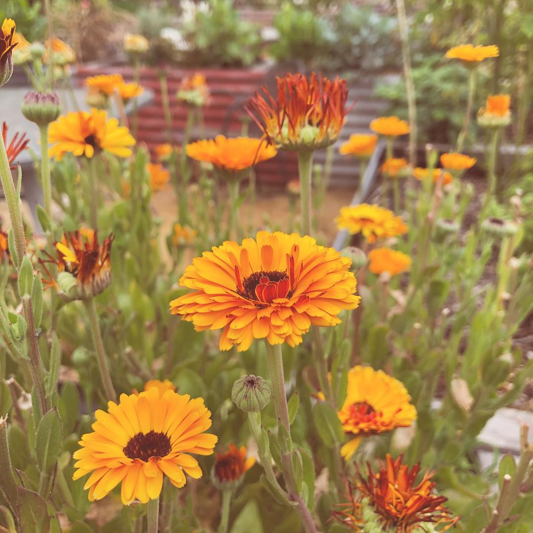 Calendula The Quill Collective
