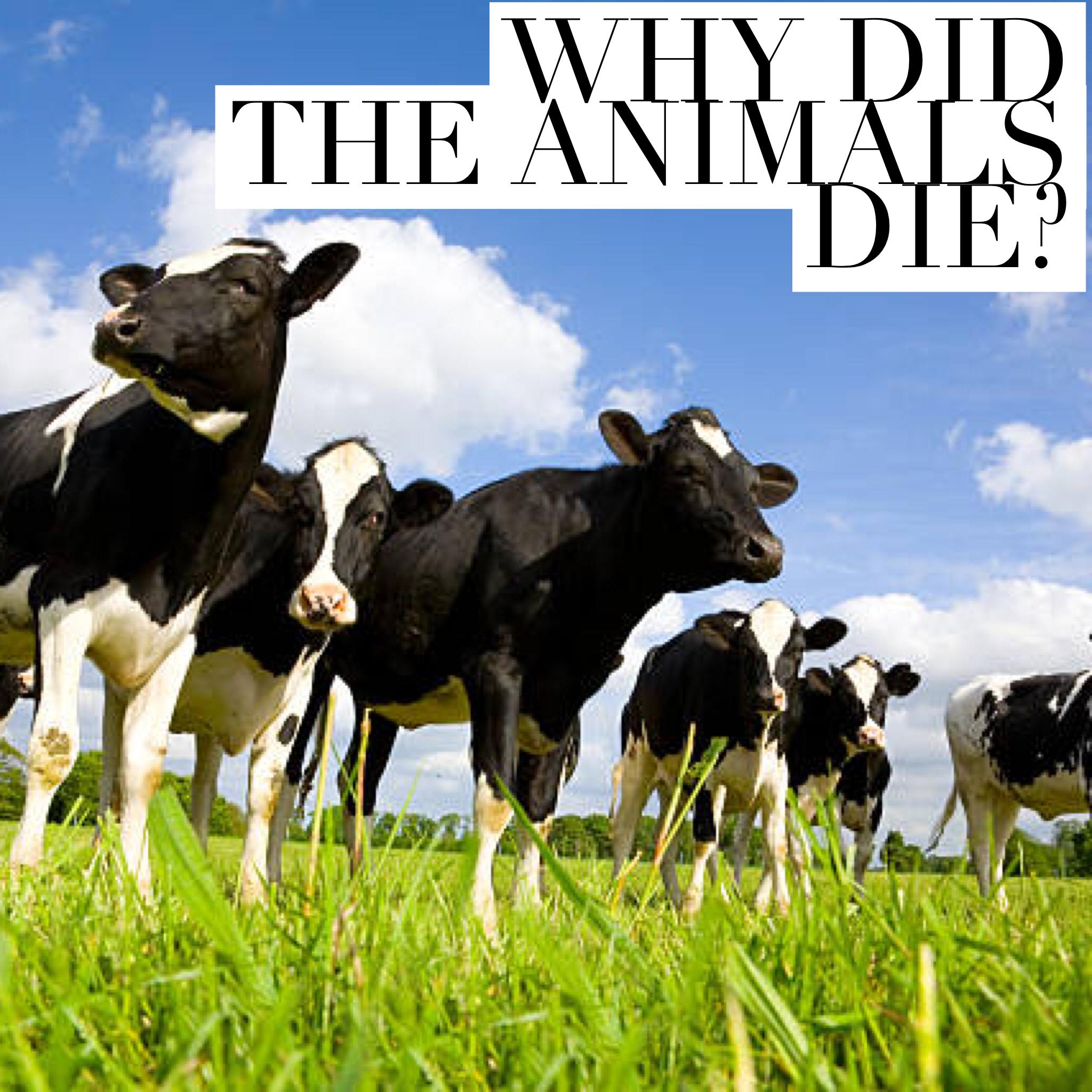 animals cattle cavan drung ballyhaise agricultural redhills stradone larah lavey