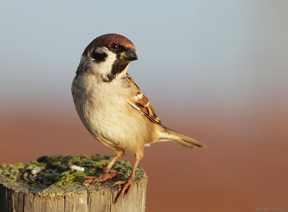 AT_181014_06_TreeSparrow.jpg