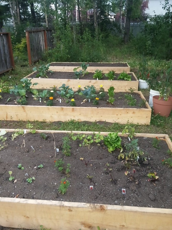 1st summer- 4 plots built and vegetables are growing!