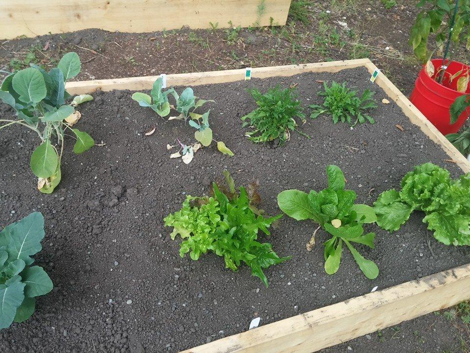 1st summer- lettuce!