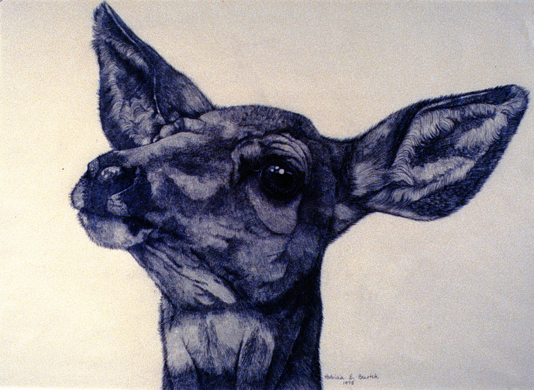 Mule Deer , 1975,Patricia Burtch, graphite on paper, 42.5 cm x 30 cm, 1977.01.01, purchased by the Selection Committee of the Penticton Arts Centre Gallery in 1972