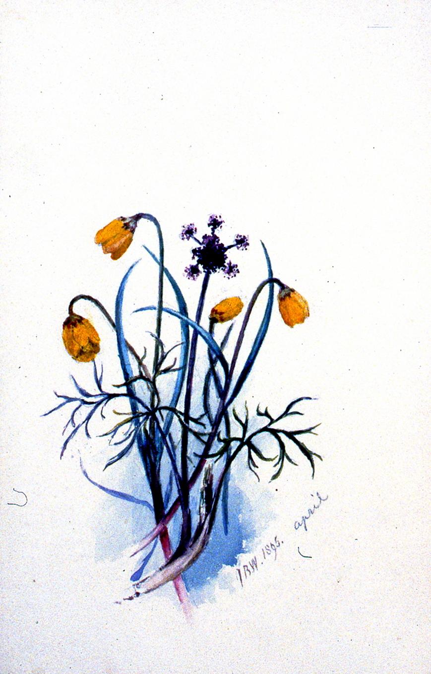Yellow Bells, 1895, Julia Bullock-Webster, watercolour on paper, 23 x 14.8 cm, 1983.02.14. Gift of Mrs. Barbara Steel.