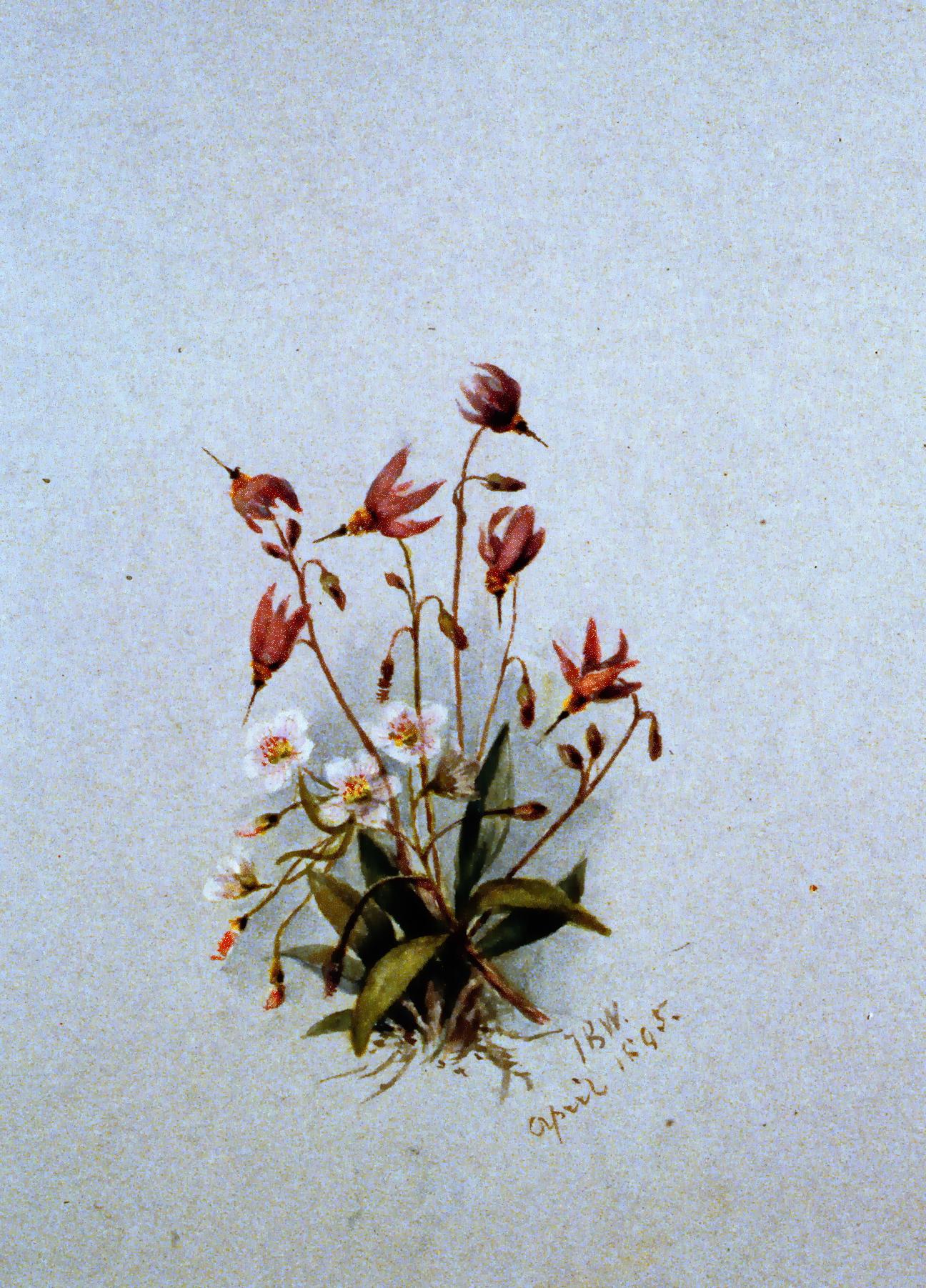 Pink Shooting Star , 1895, Julia Bullock Webster, watercolour on paper, 25.5 x 35.5 cm, 1983.02.17. Gift of Mrs. Barbara Steel.