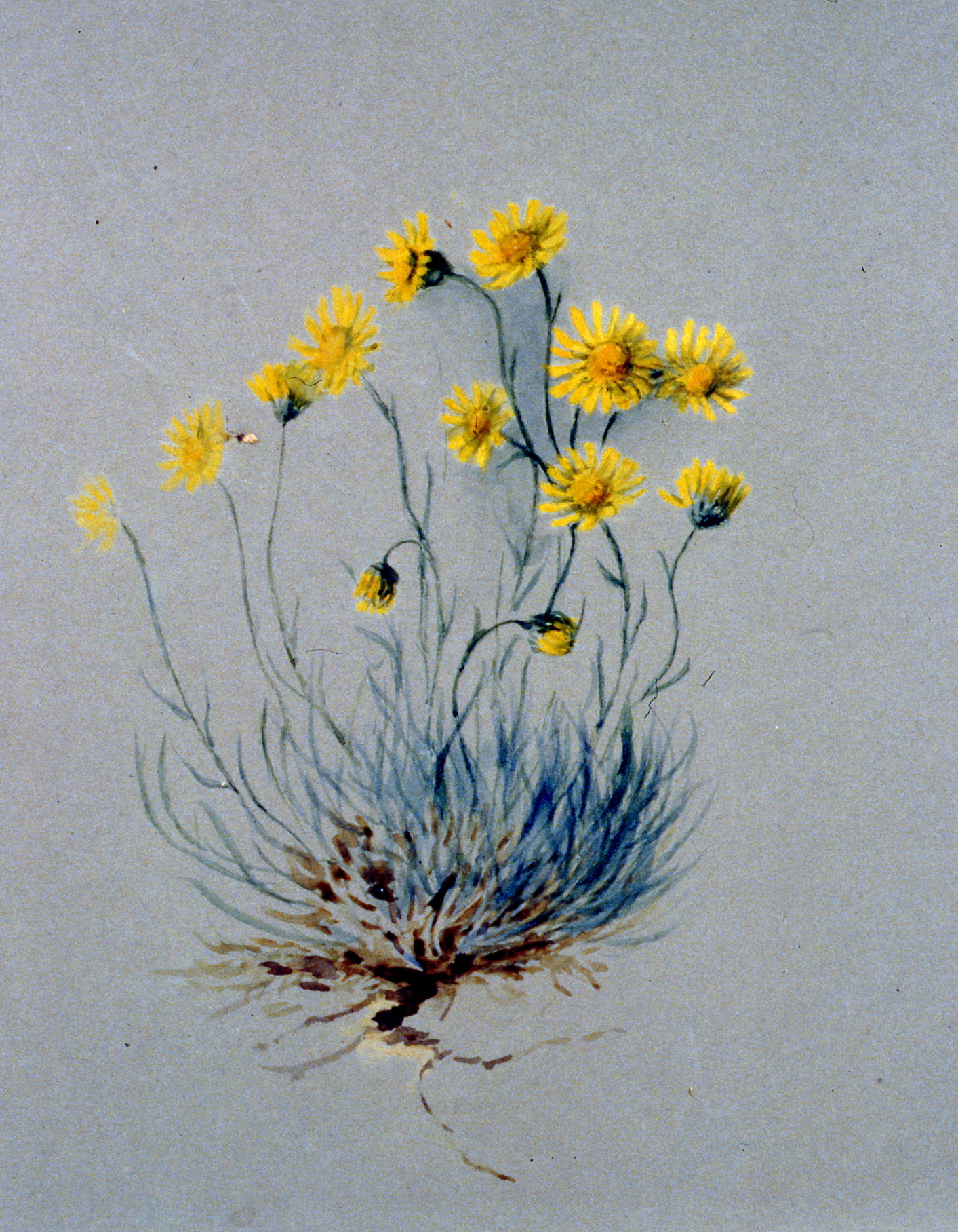 Untitled (Yellow Erigiron Daisies), 1895, Julia Bullock-Webster, watercolour on paper, 24.9 x 35.5 cm, 1983.02.21. Gift of Mrs. Barbara Steel.