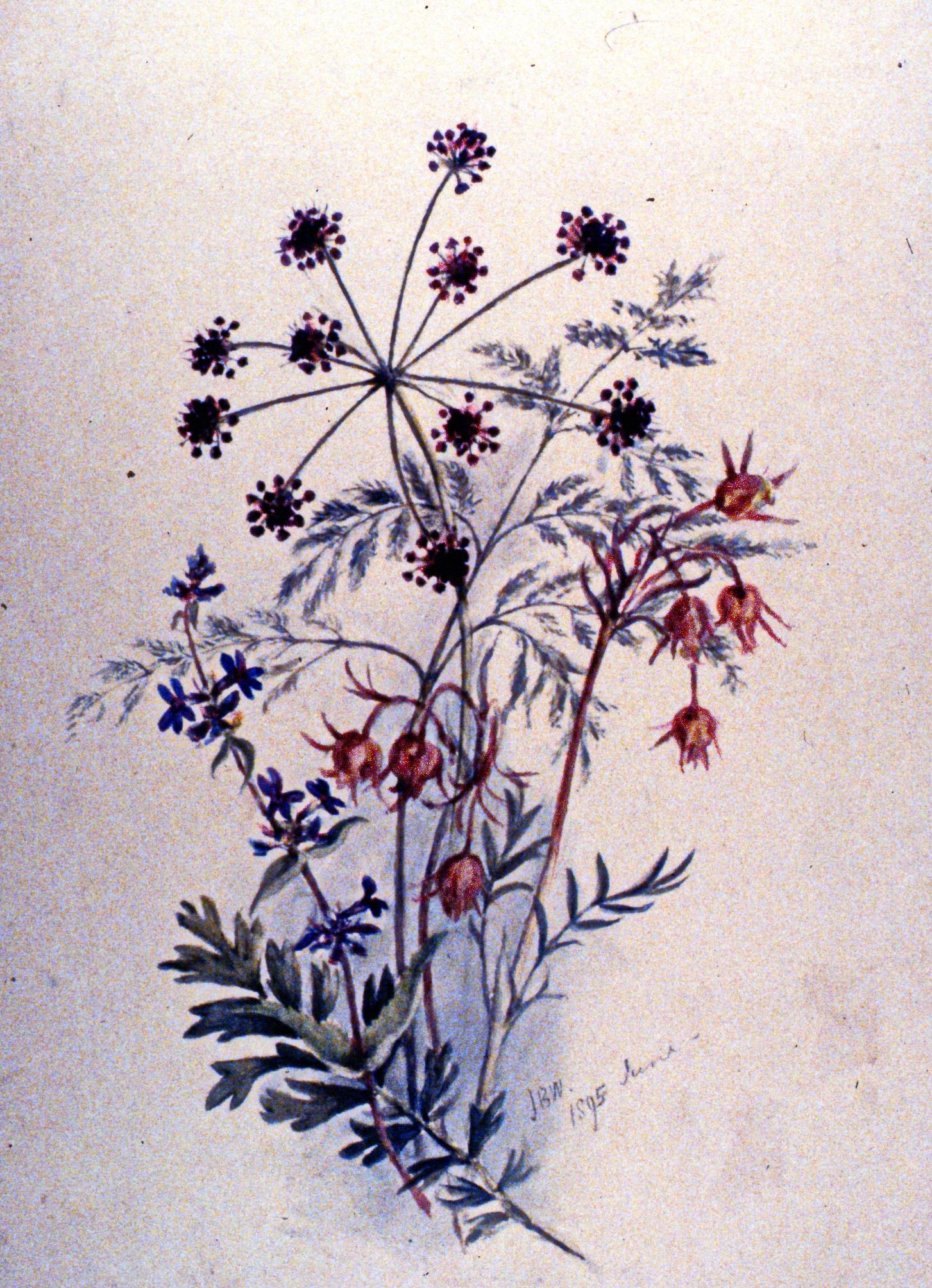 Untitled (Leptontaenia, Multifia), 1895, Julia Bullock Webster, watercolour on paper, 35.5 x 25.2 cm,1983.02.23. Gift of Mrs. Barbara Steel.