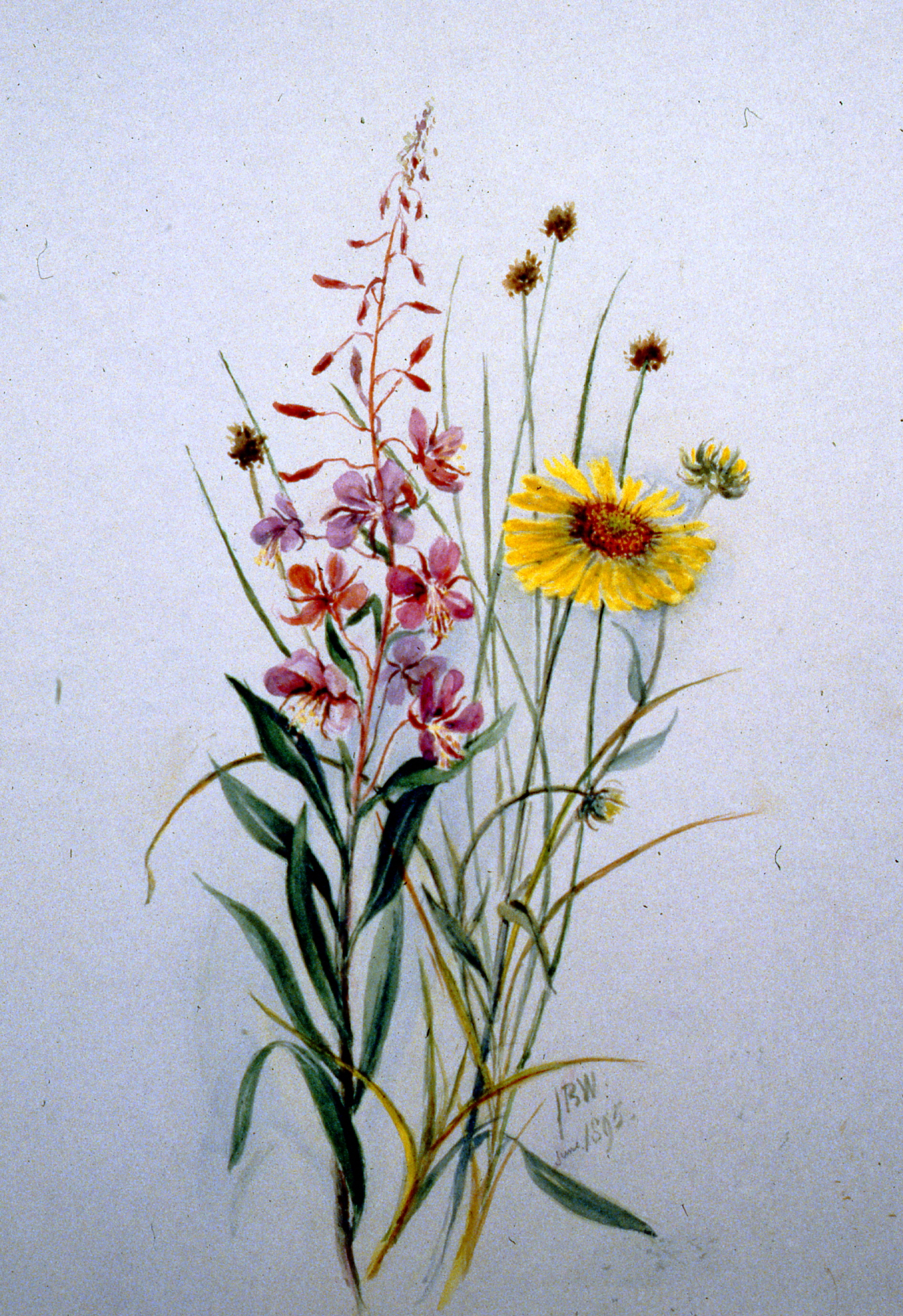 Untitled (Fireweed, Sedse, Brown-eyed Susan), 1895, Julia Bullock Webster, watercolour on paper, 35.3 x 25.3 cm, 1983.02.24.