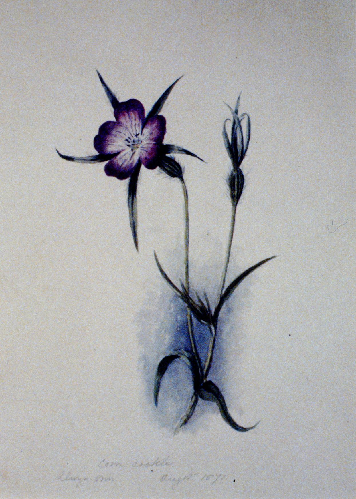 Corn-Cockle , 1871, Julia Bullock Webster, watercolour on paper, 27.5 x 20 cm,1983.02.30.Gift of Mrs. Barbara Steel.