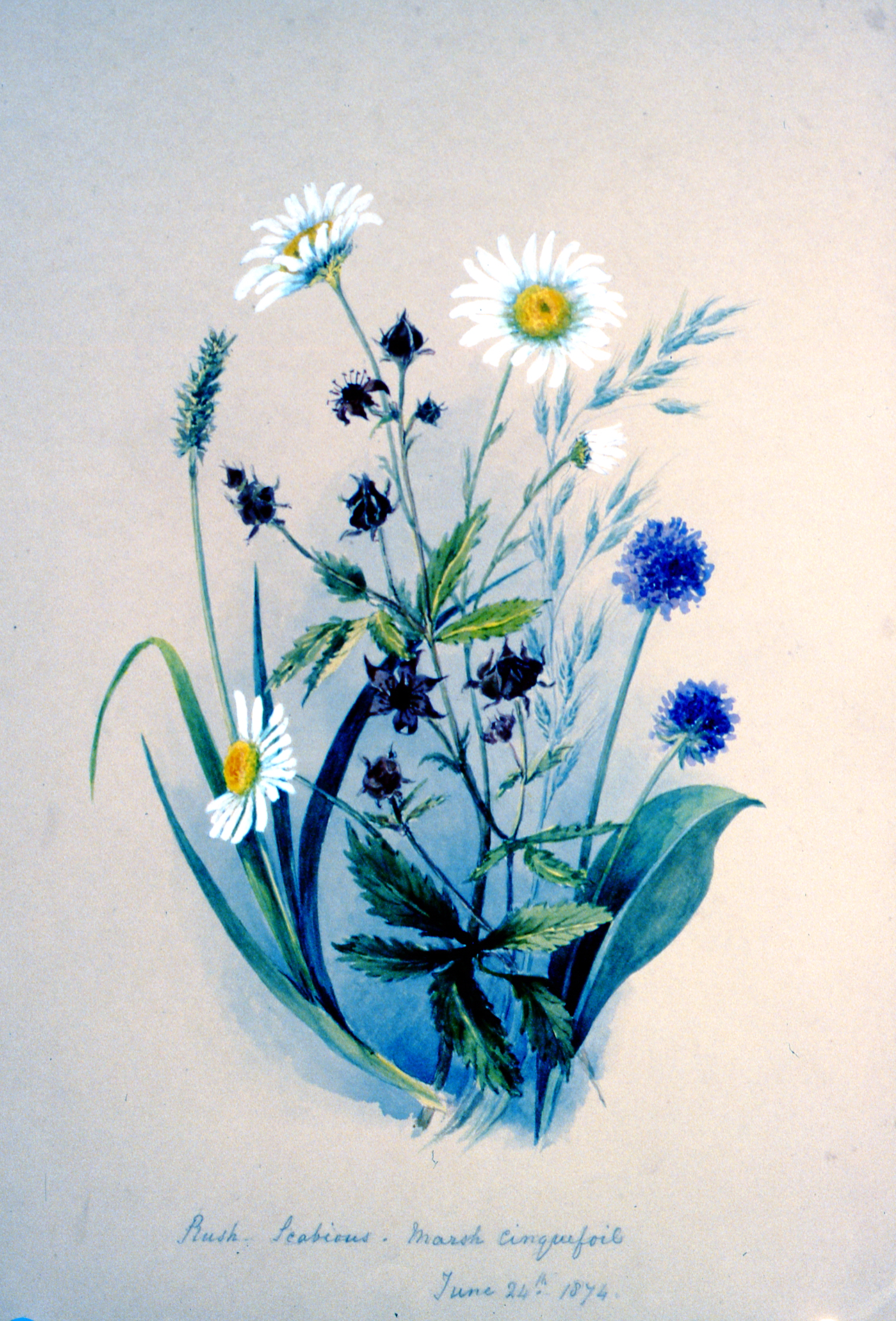 Rush-Scabious- Marshcinquefoil , 1874, Julia Bullock Webster, watercolour on paper, 35.6 x 25.3 cm, 1983.02.31. Gift of Mrs. Barbara Steel.