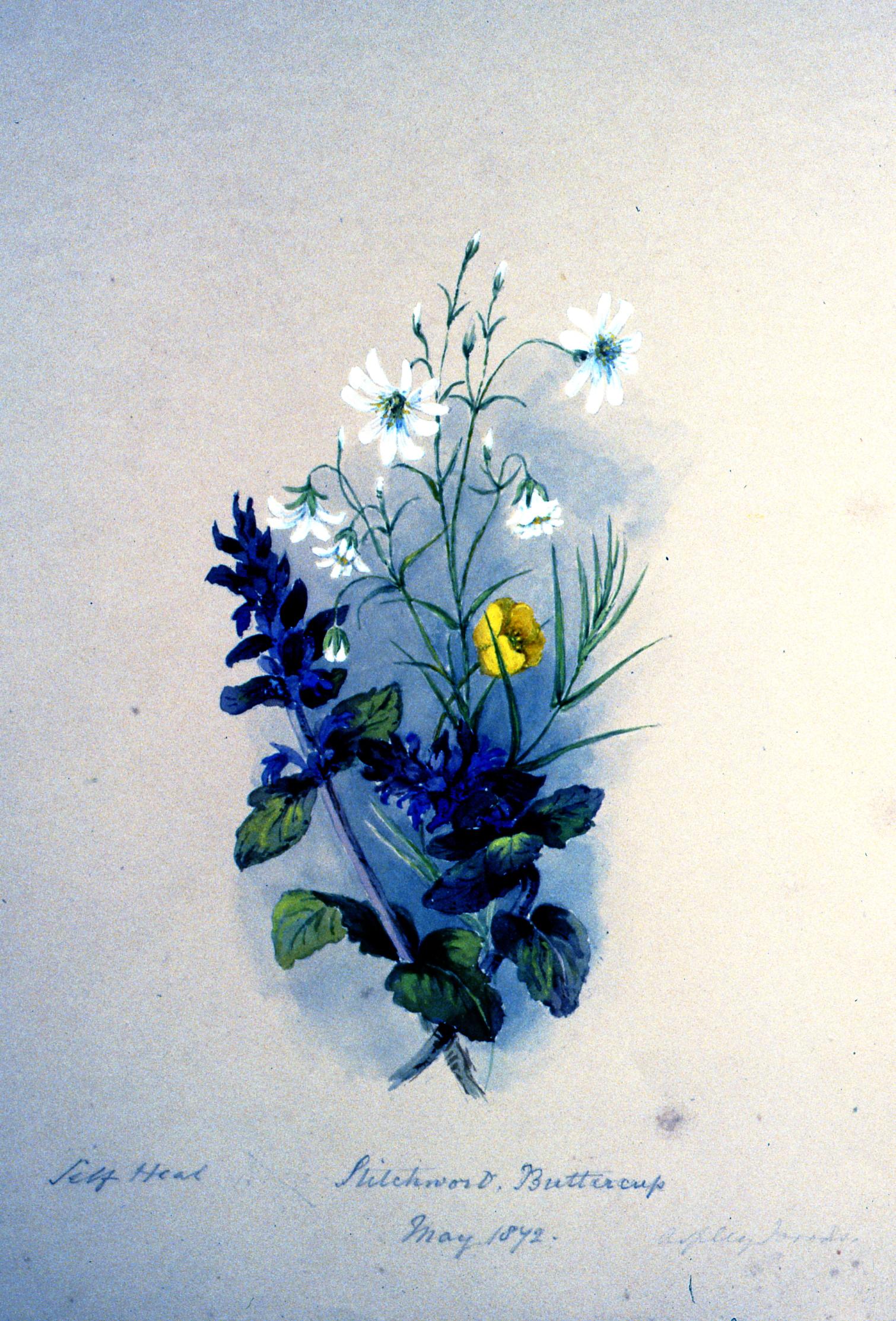 Jeff Head - Stitchwort - Buttercup , 1842, Julia Bullock-Webster, watercolour on paper, 35.5 x 25.2 cm, 1983.02.32.Gift of Mrs. Barbara Steel.