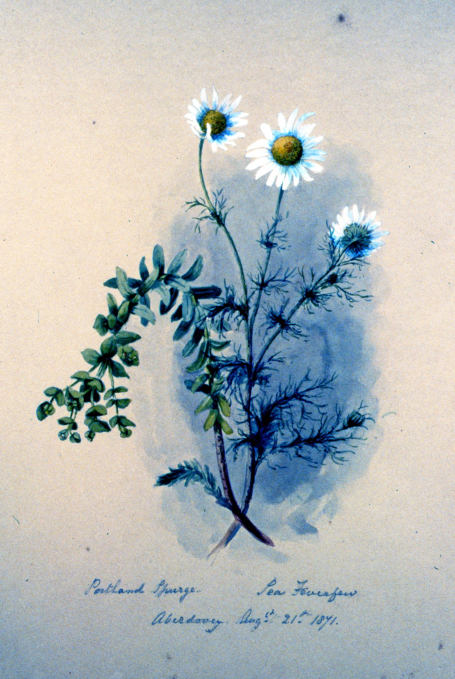 Portland Sparge - Pea Feverfew , 1871, Julia Bullock Webster, watercolour on paper, 35.5 x 25.8 cm, 1983.02.33. Gift of Mrs. Barbara Steel.