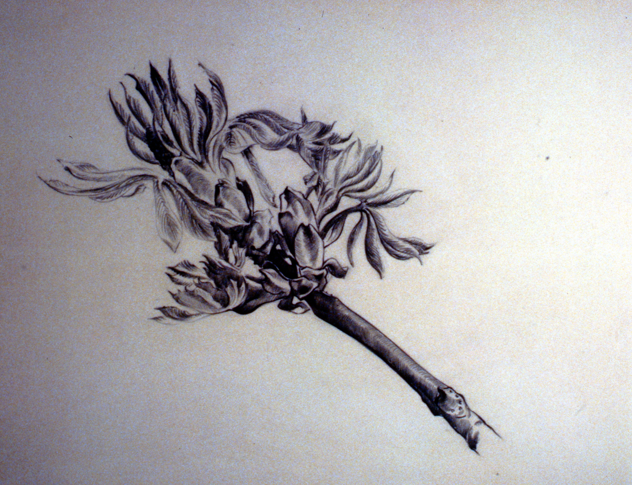 Untitled (Branch), nd.