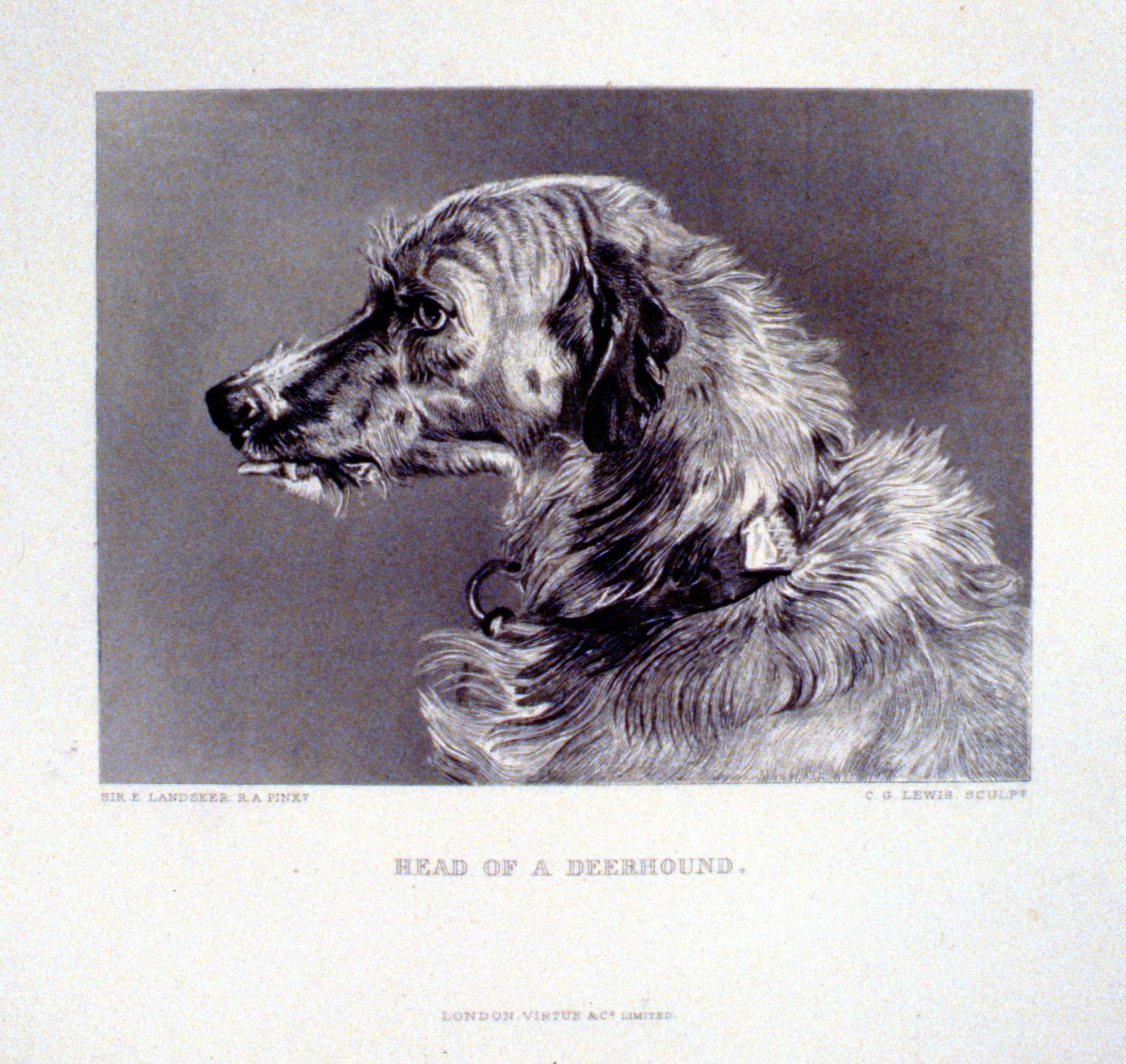 Head of a Deerhound , c. late 19th Century, Charles G. Lewis, steel engraving, 13.1 cm x 17.7 cm, 1996.08.20, gift of Yvonne Adams