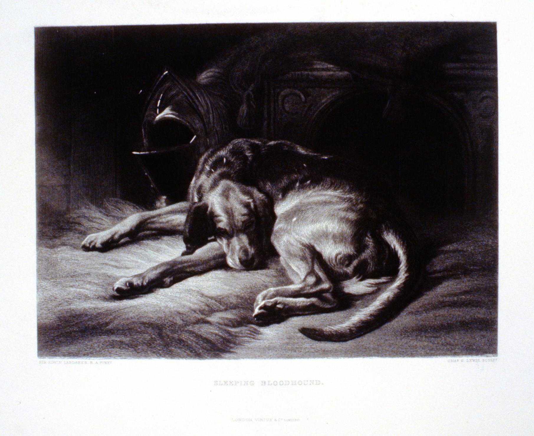 Sleeping Bloodhound , c. late 19th Century, Charles G. Lewis, steel engraving, 19.5 cm x 27 cm, 1996.08.22, gift of Yvonne Adams