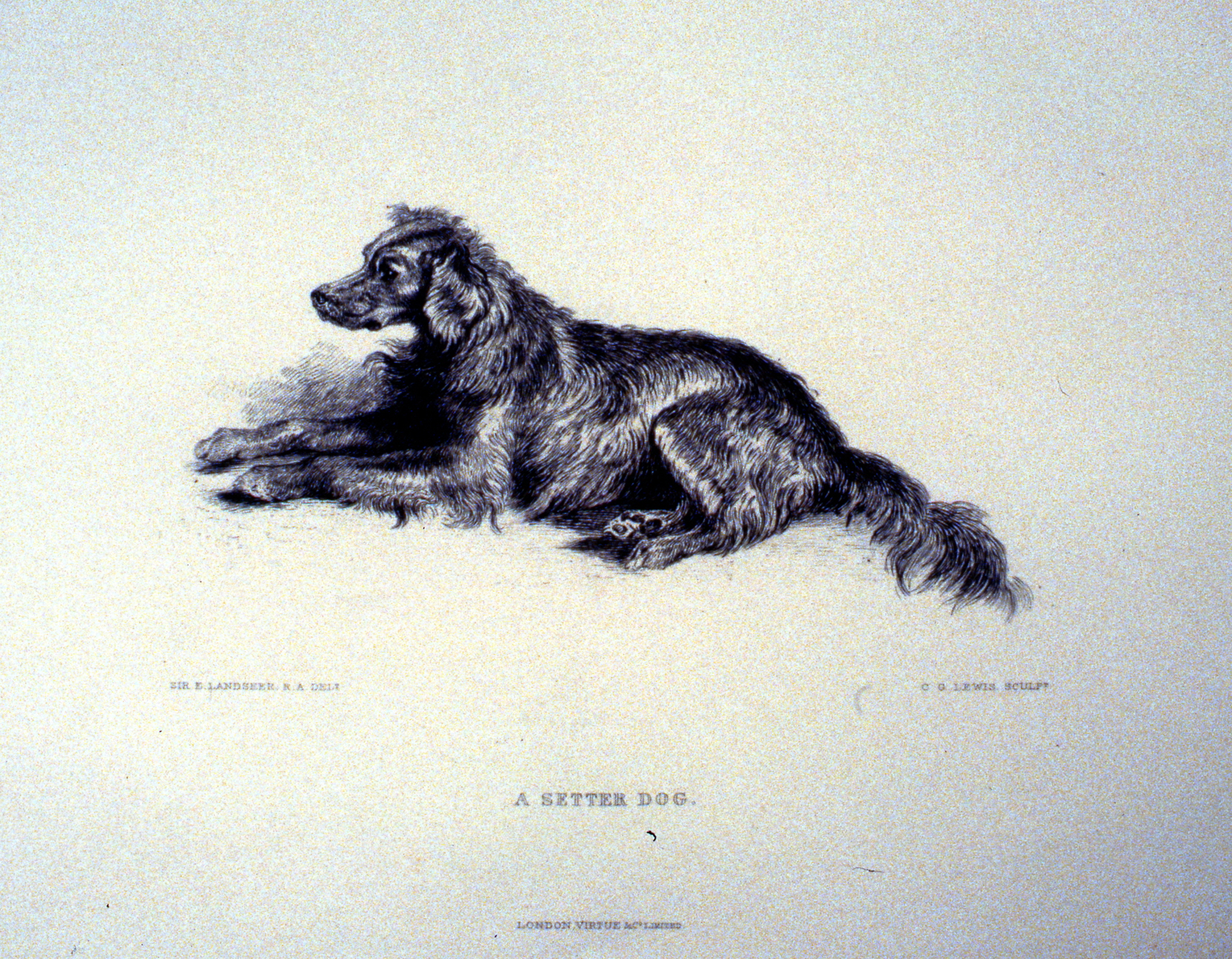 A Setter Dog , c. late 19th Century, Charles G. Lewis, steel engraving, approx. 12 cm x 21 cm, 1996.08.40, gift of Yvonne Adams