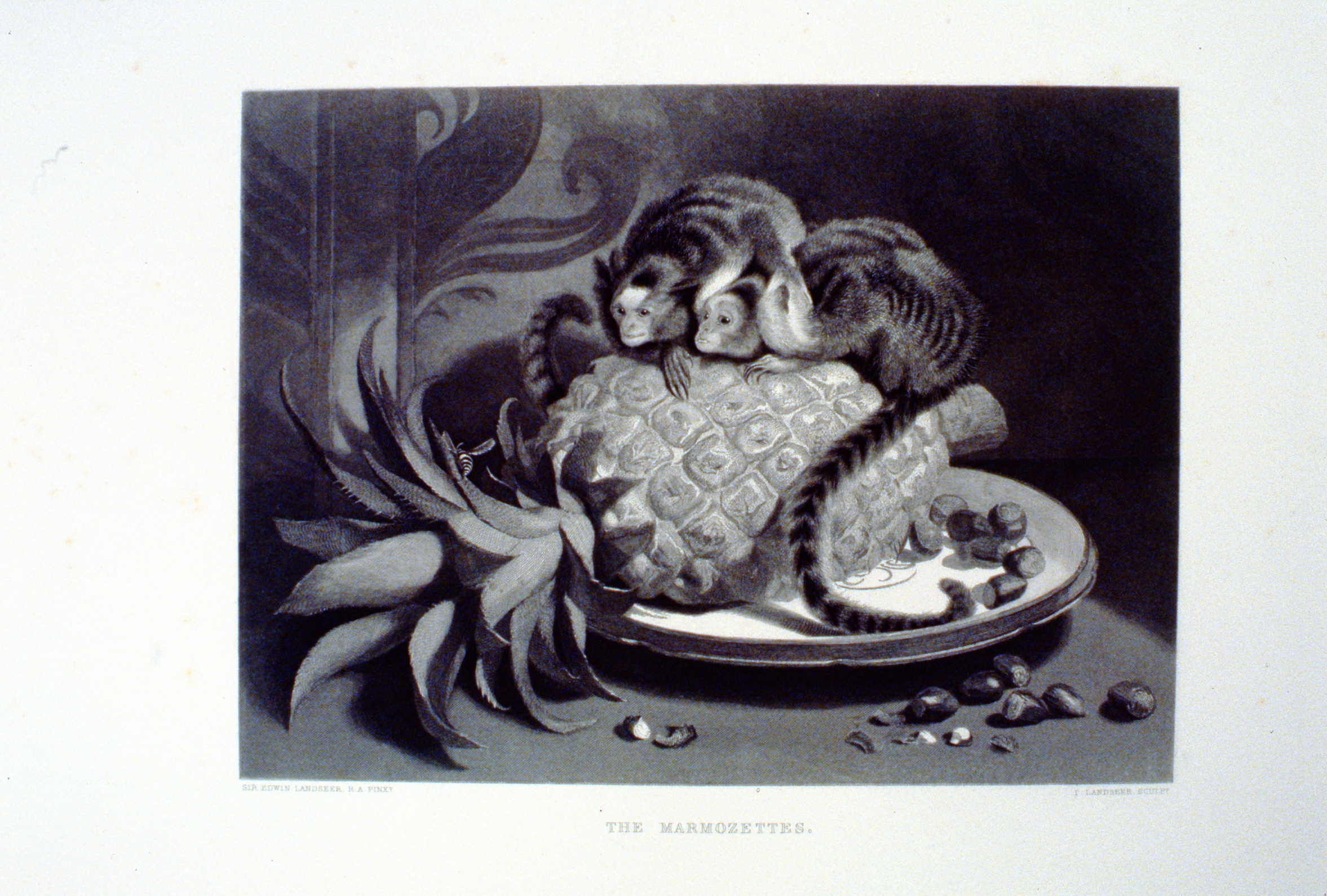 The Marmozettes , c. late 19th Century, T. Landseer, steel engraving, 18.6 cm x 25 cm, 1996.08.42, gift of Yvonne Adams