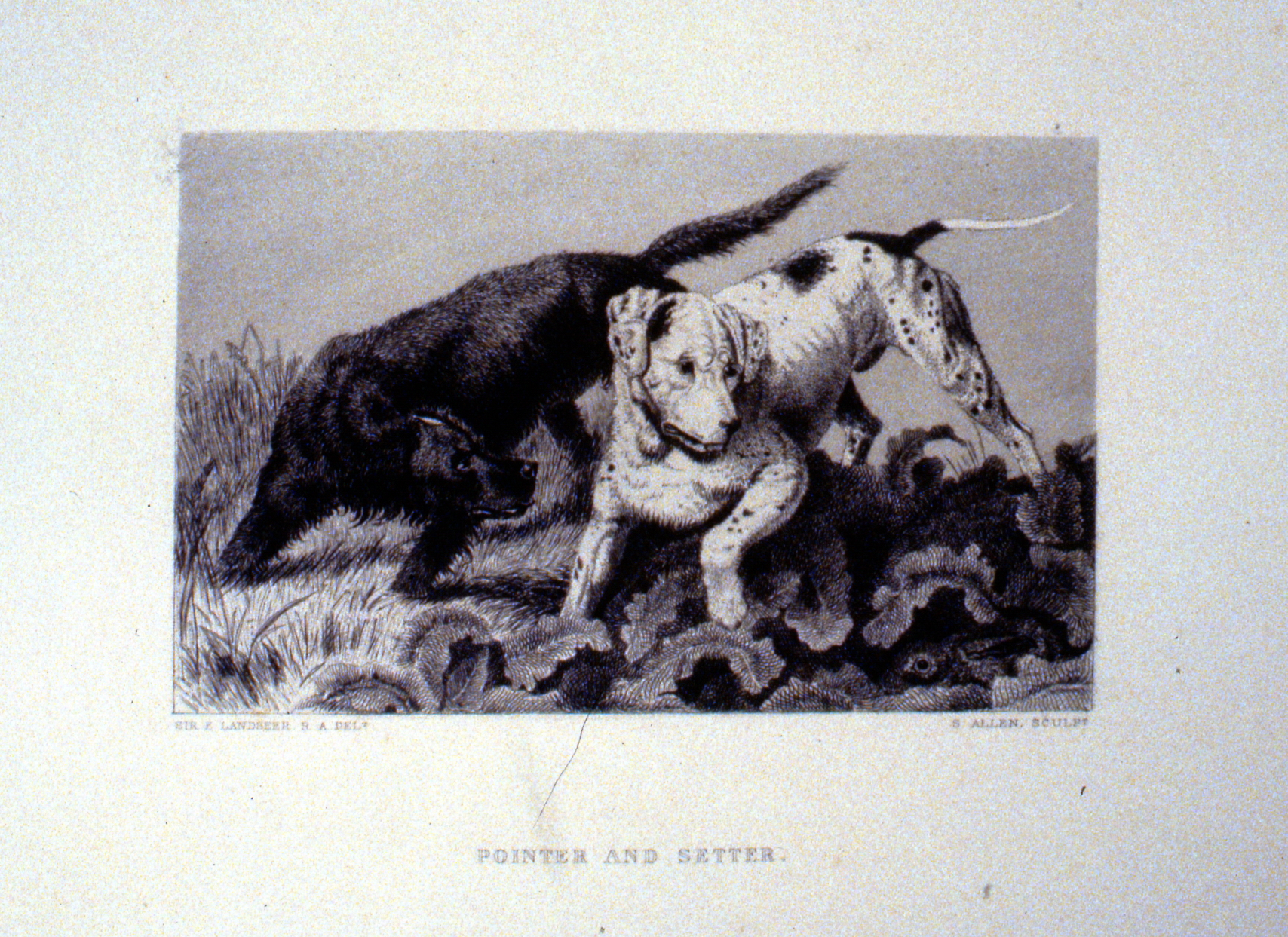 Pointer and Setter , c. late 19th Century, S. Allen, steel engraving, 11.3 cm x 18.1 cm, 1996.08.45, gift of Yvonne Adams