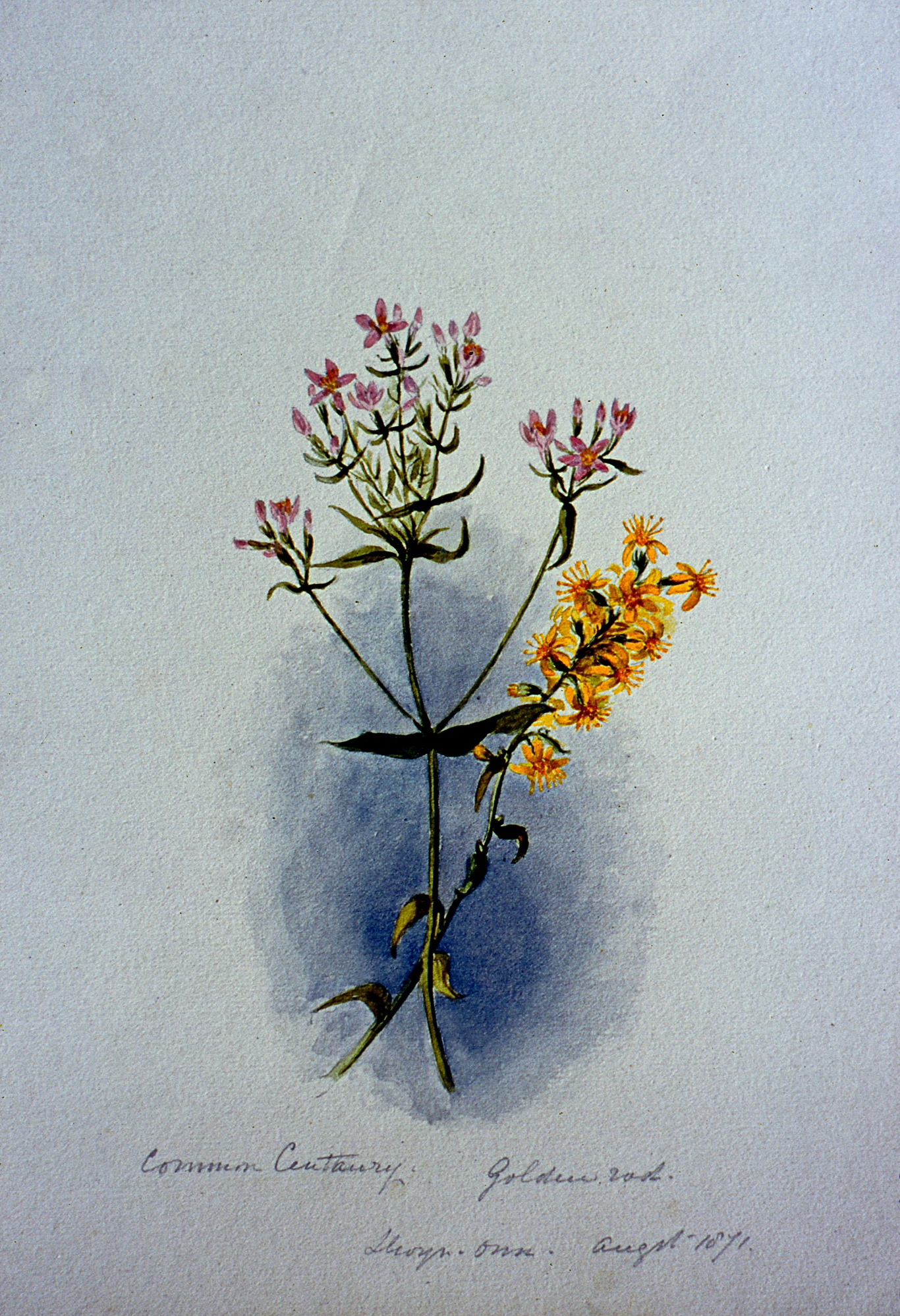 Common Century and Golden Rod,  August 1871, Julia Bullock Webster, watercolour on paper, 25.5 cm x 17.5 cm, 2003.02.03, gift of The Grist Mill at Keremeos