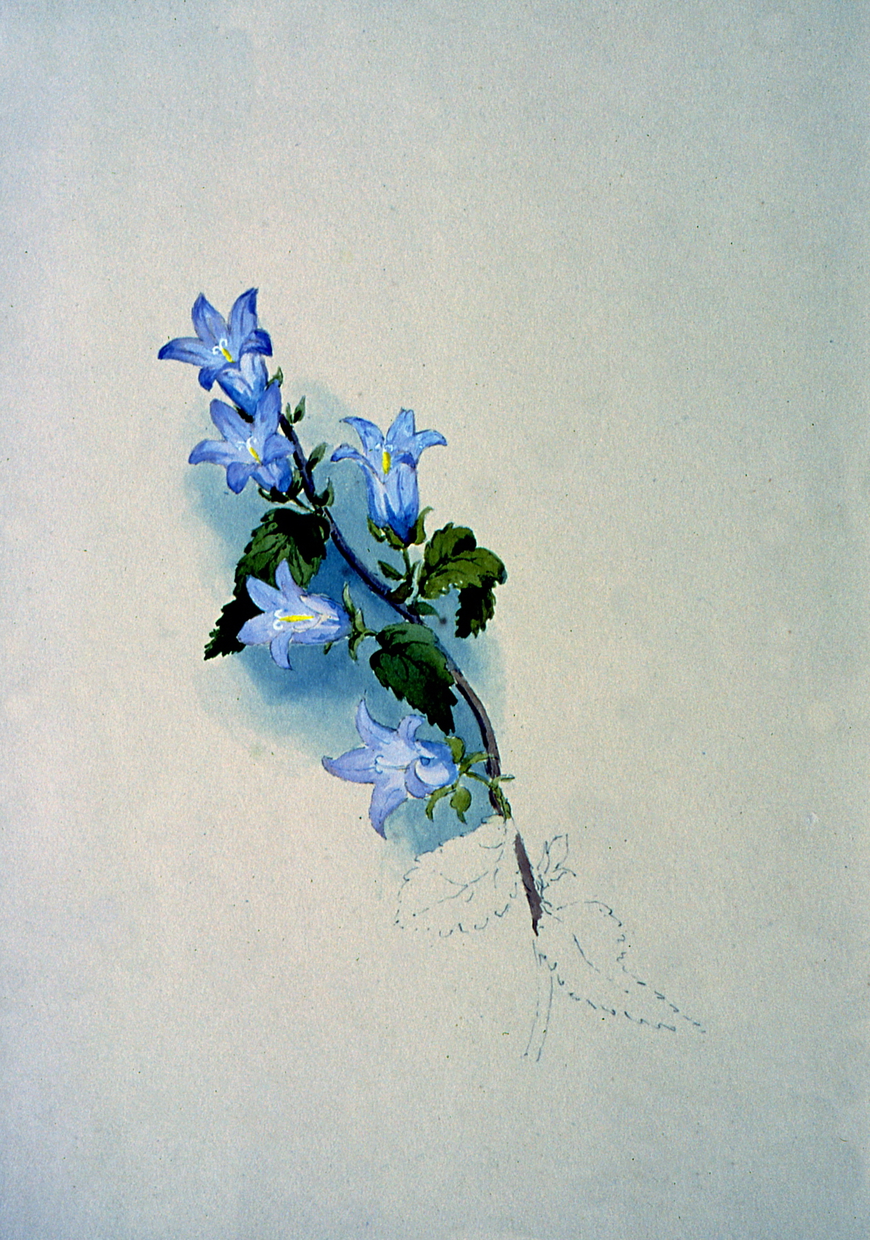 Untitled (Botanical - Light Purple Flowers) ,  n.d . , Julia Bullock Webster, watercolour on paper, 35.6 cm x 25.3 cm, 2003.02.07, gift of The Grist Mill at Keremeos