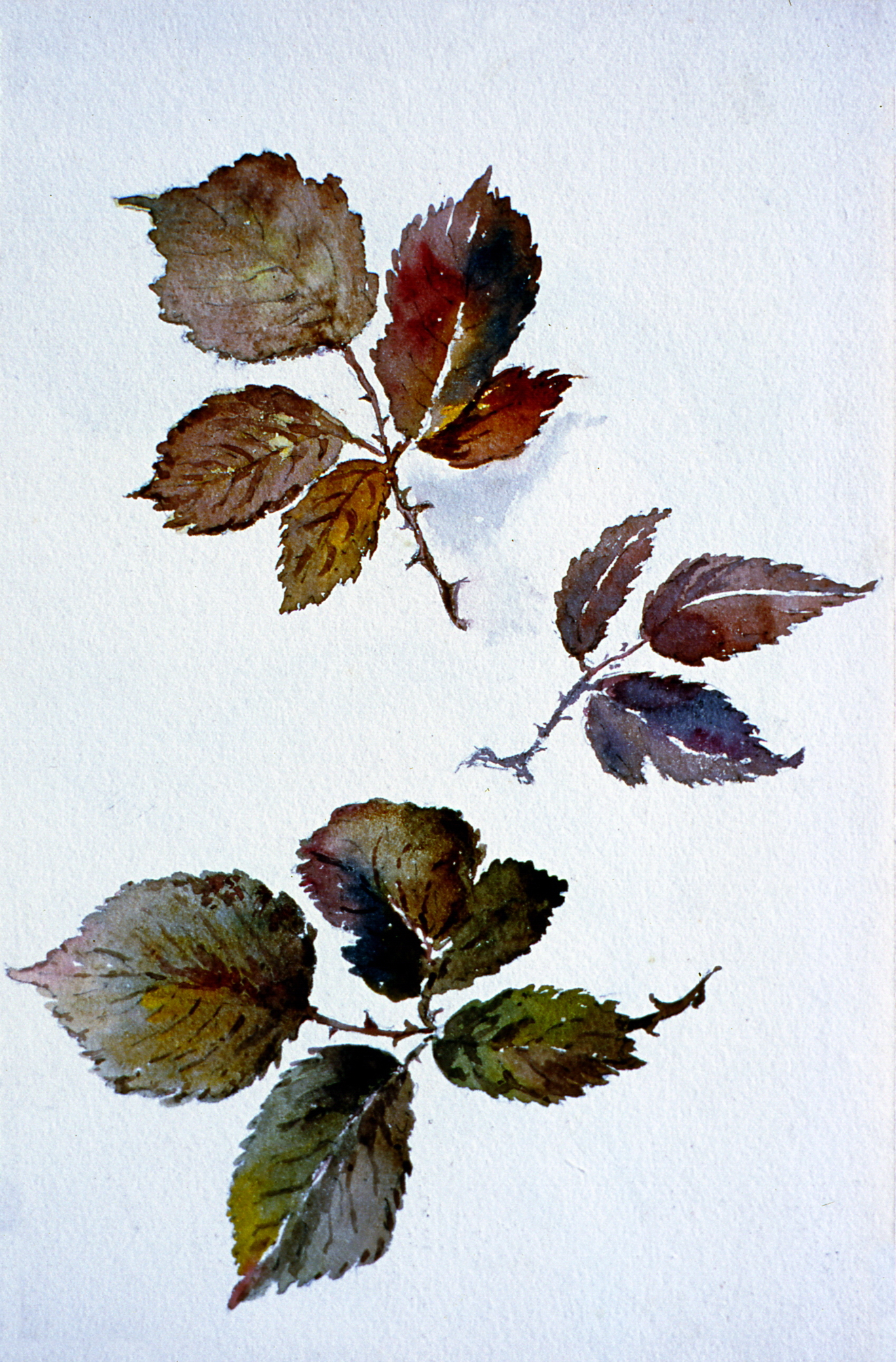 Untitled  (Botanical - Leaves in Red and Brown), n.d. Julia Bullock Webster, watercolour on paper, 23.2 cm x 15 cm, 2003.02.10, gift of The Grist Mill at Keremeos