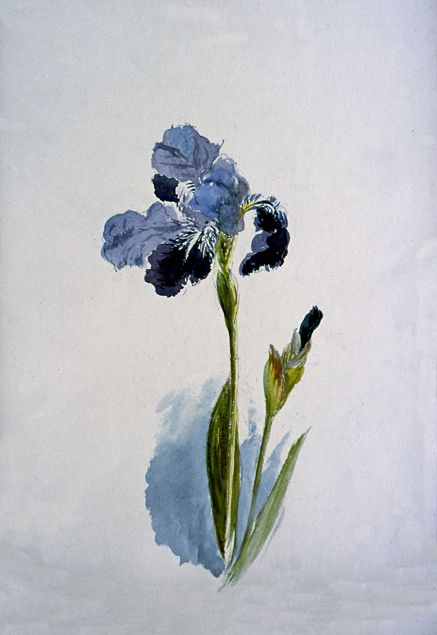 Untitled (Purple Iris), n.d. Julia Bullock Webster, watercolour on paper, 35.5 cm x 25.2 cm, 2003.02.15, gift of The Grist Mill at Keremeos