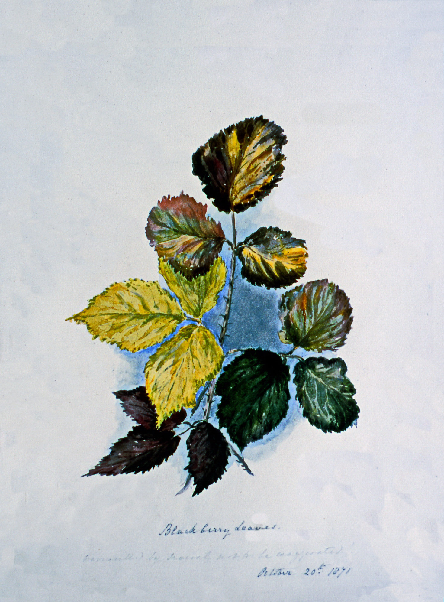 Blackberry leaves- Harvested by Julia, work to be exaggerated October 20th, 1871 , August 1871, Julia Bullock Webster, watercolour on paper, 35.5 cm x 25.6 cm, 2003.02.23, gift of The Grist Mill at Keremeos