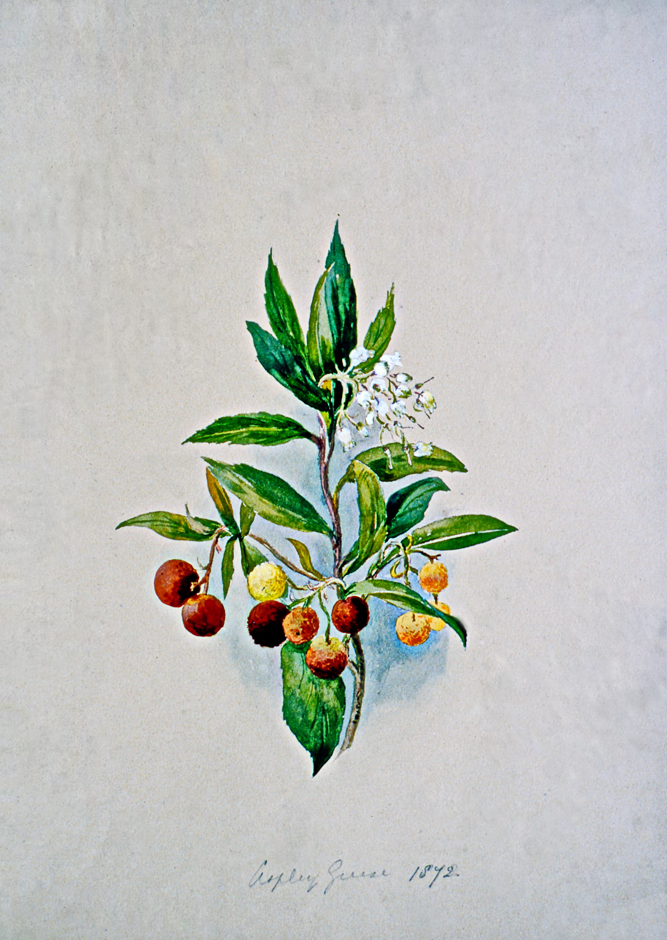 Untitled (Botanical), n.d,, Julia Bullock Webster, watercolour on paper, 35.5 cm x 25.6 cm, 2003.02.25, gift of The Grist Mill at Keremeos