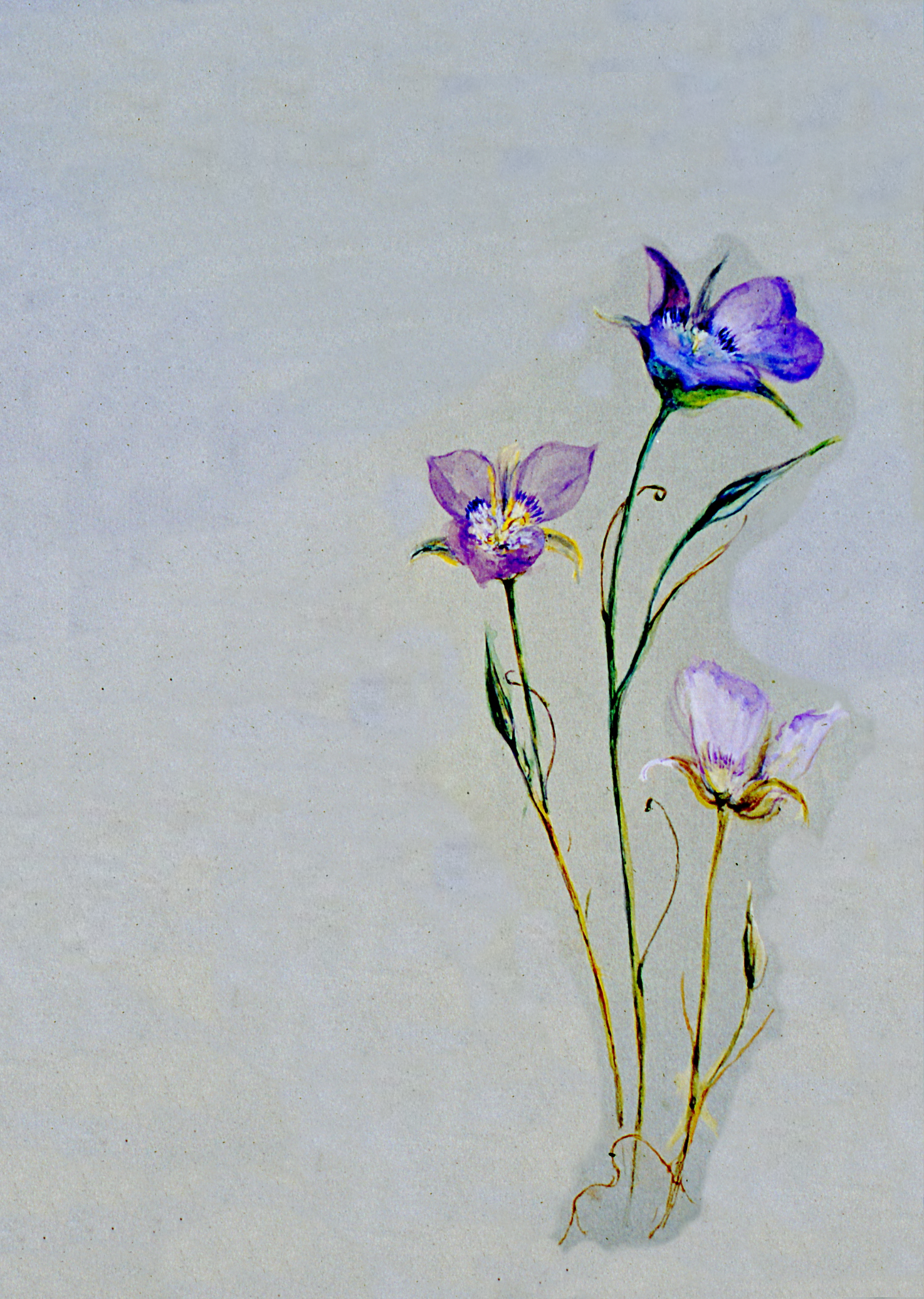 Untitled (Botanical - 3 Purple Flowers), n.d., Julia Bullock Webster, watercolour on paper, 35.4 cm x 25.1 cm, 2003.02.26, gift of The Grist Mill at Keremeos