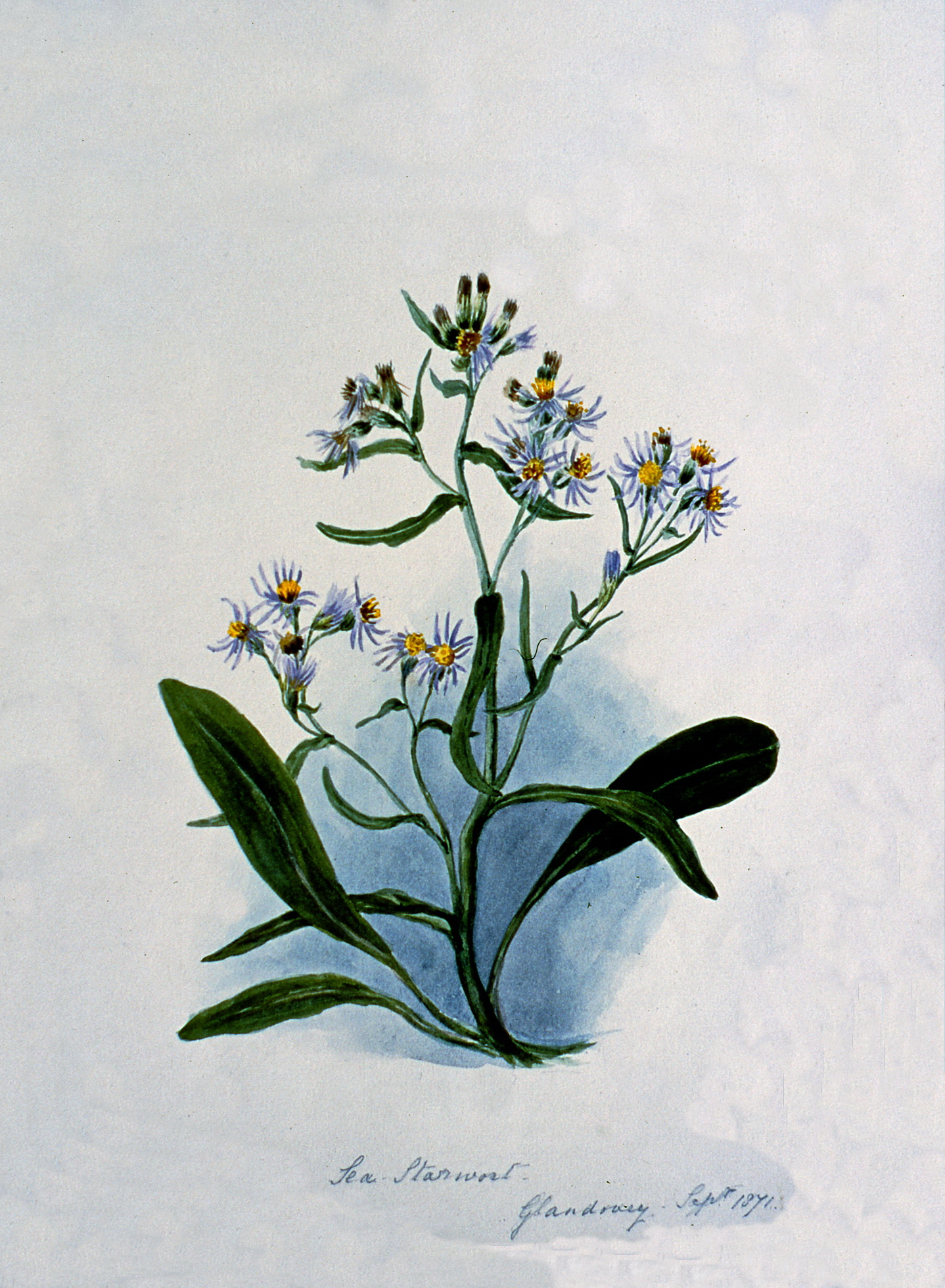 Sea Star Wort - Glandovey Sept 1871 , September 1871, Julia Bullock Webster, watercolour on paper, 35.5 cm x 25.7 cm, 2003.02.28, gift of The Grist Mill at Keremeos