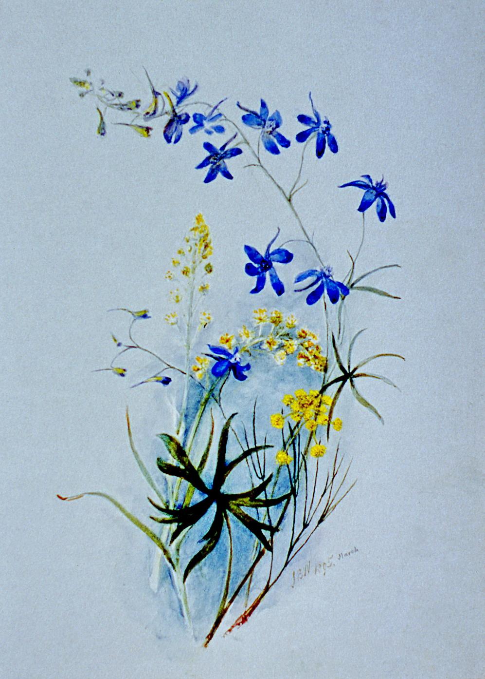 Wilfahinium variegatum Zyandeneus Venenasus , March 1895,Julia Bullock Webster, watercolour on paper, 35.5 cm x 25.4 cm, 2003.02.30, gift of The Grist Mill at Keremeos
