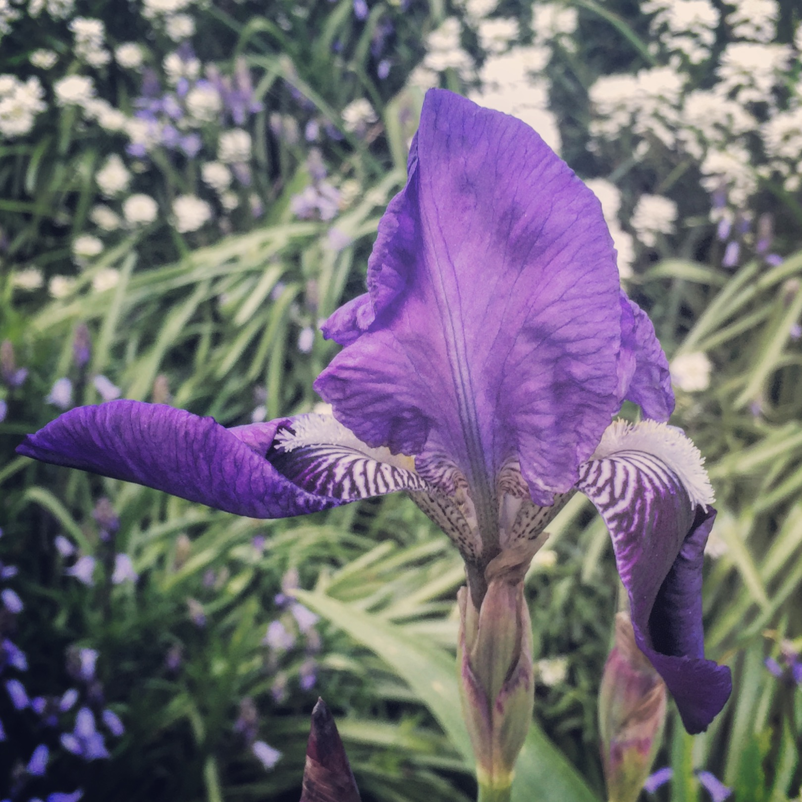 The iris flower in all its purple and white glory.