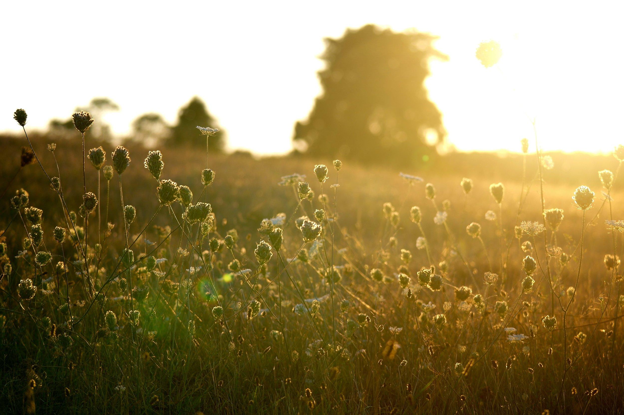 Flowers_in_sunset_in_Massachusetts.jpg