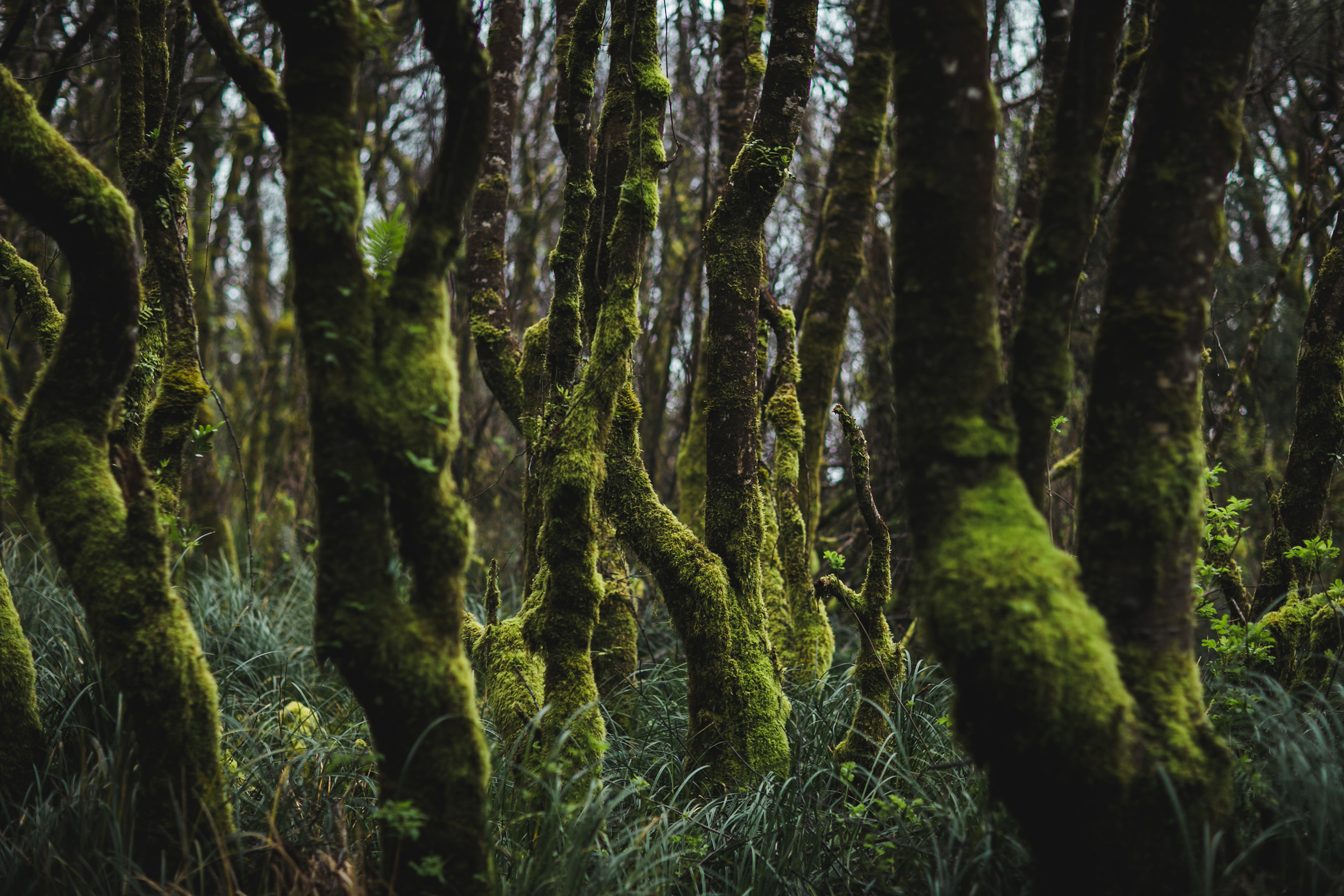 Moss Covered Trees - Orick, CA