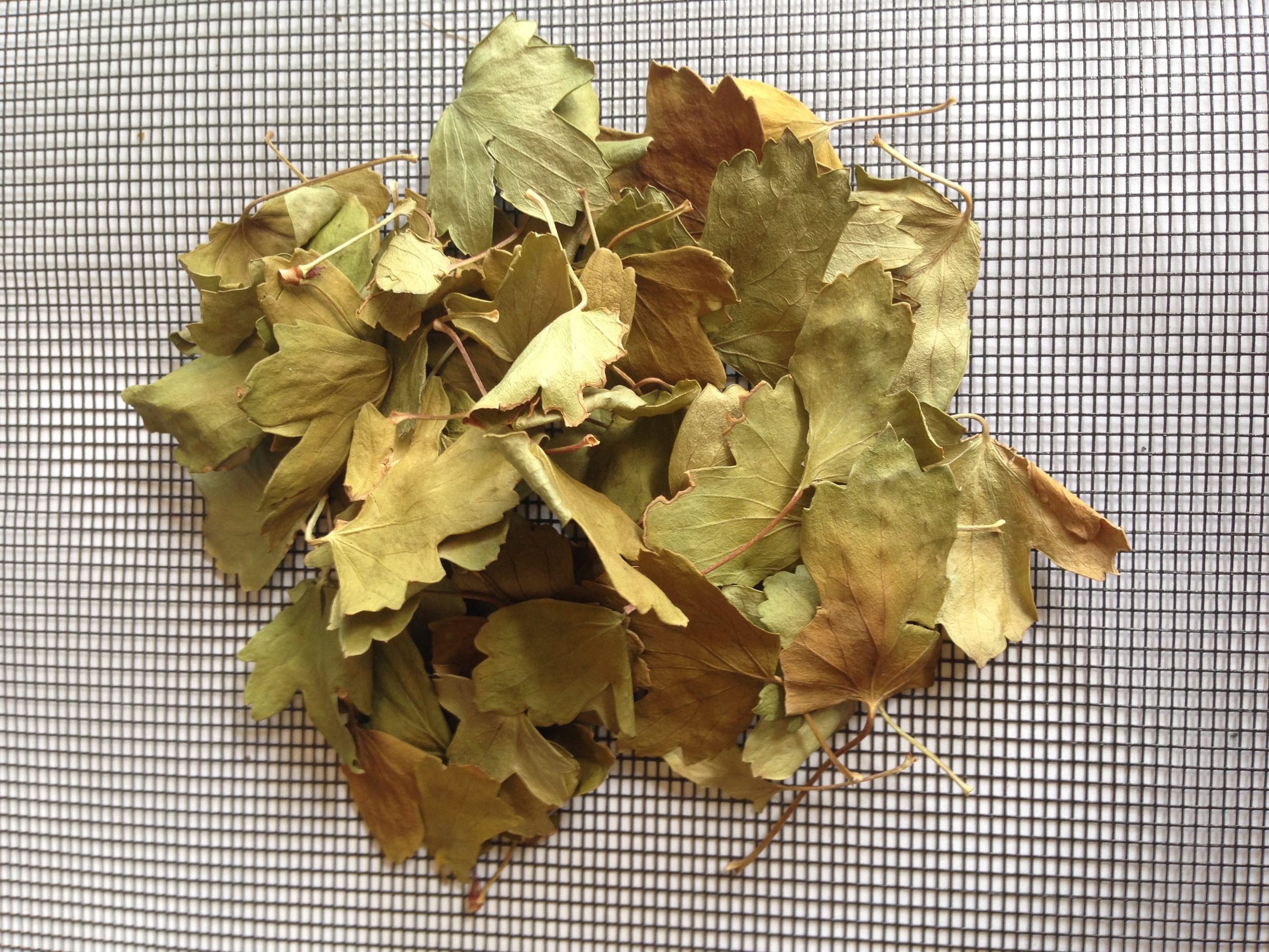 Golden currant leaves