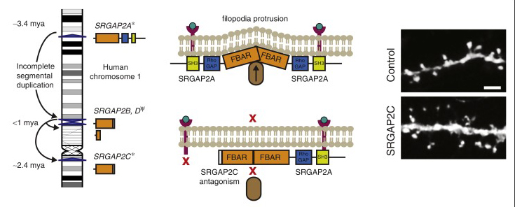Figure 2a - SRGAP2C antagonism of ancestral SRGAP2 leading to changes in neuronal dendrites (courtesy of Current Opinion in Genetics & Development)
