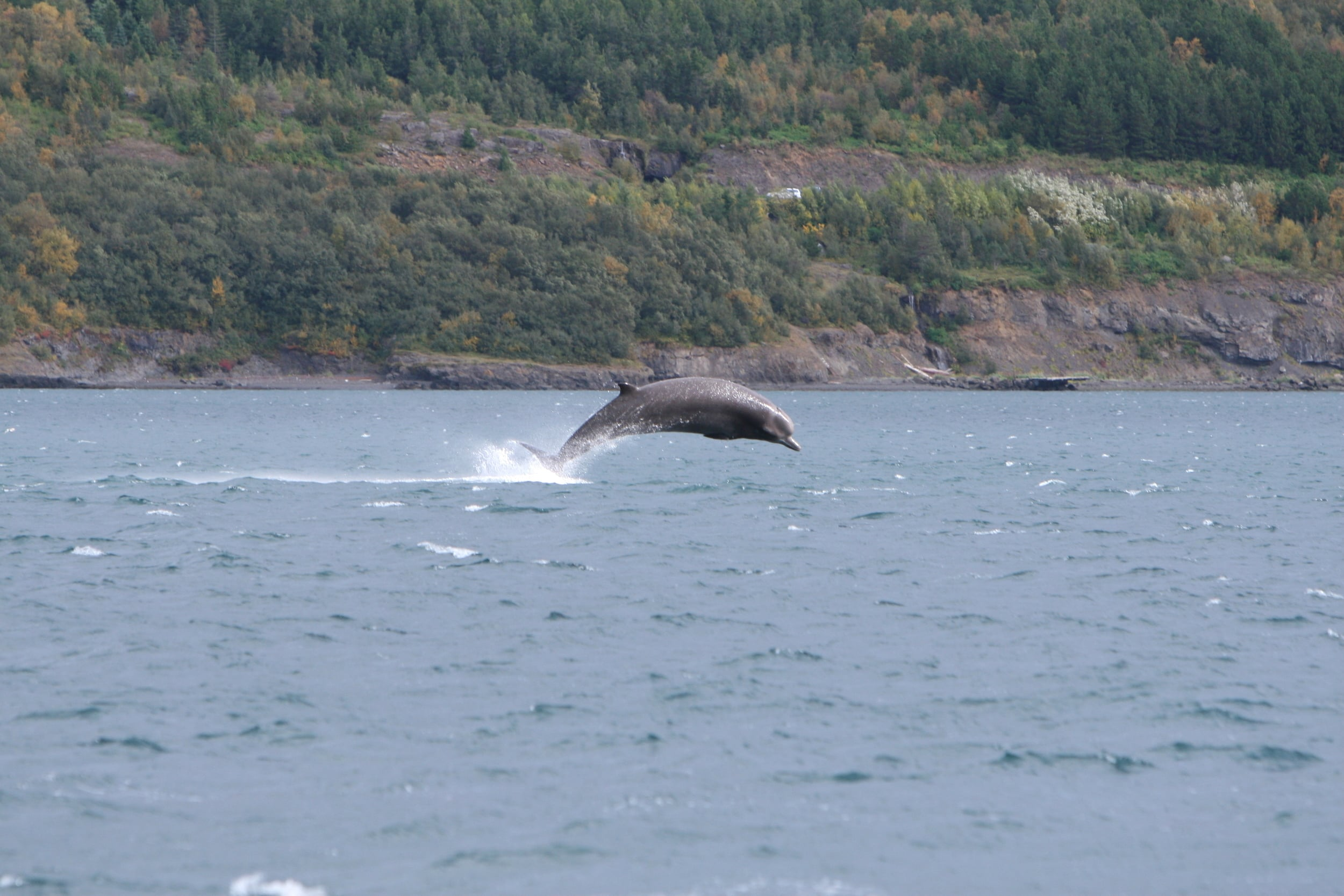 Bottlenose whale ( Hyperoodon ampullatus )jumps out of the water at the inner part of Eyjafjörður during the fall