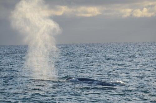 6+Blue+Whale+blow_LR.jpg