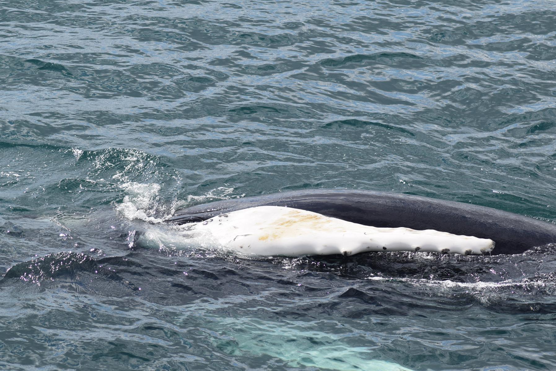 A rolling Humpback whale  (  Megaptera novaeangliae  ) in Eyjafjordur.