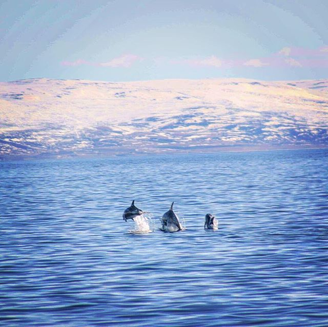 Dolphinately a Delightful Day!  Leaping White-beaked Dolphins in the fjord today captured by Naturalist Tess Hudson 🐬@imagine_live_adventure  #dolphins #whitebeakeddolphins #elding #whalewatching #photography #ocean #sea #sunnydayiniceland #sunny #fjord #flatsea #whalesofinstagram #cetaceans #marinemammals