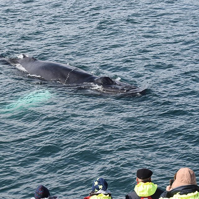 The Eyjafjord wildlife is just incredible 😍 photo by naturalist Hanna #whalesofinstagram #visitakureyri #whalewatchingtour #travelphotography #akureyri #northicelans #iceland #inspiredbyiceland #eldingwhalewatching #wildlife #whale #humpback #sightseeing #boat #cruise #everydayiceland #sea #ocean #summer #beautiful