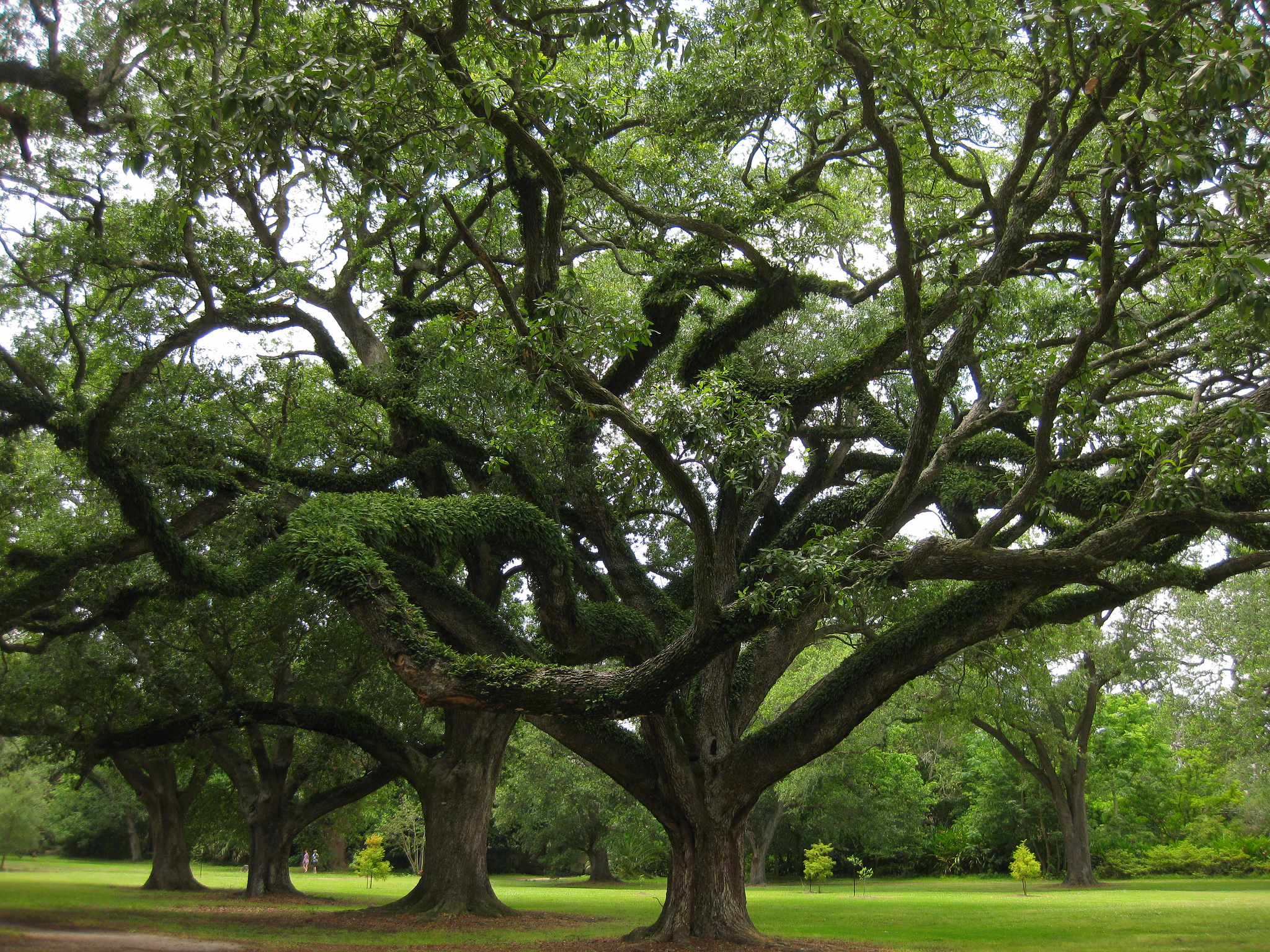 Audubon Park Oak trees.  Photo  by  Kristen Bobo  via flickr.