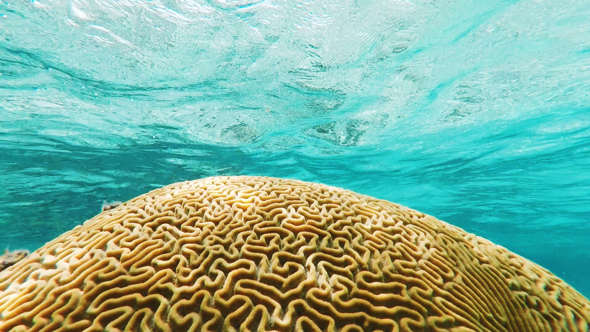 Crystal-clear water and a giant brain coral off the coast of Ambergris Caye