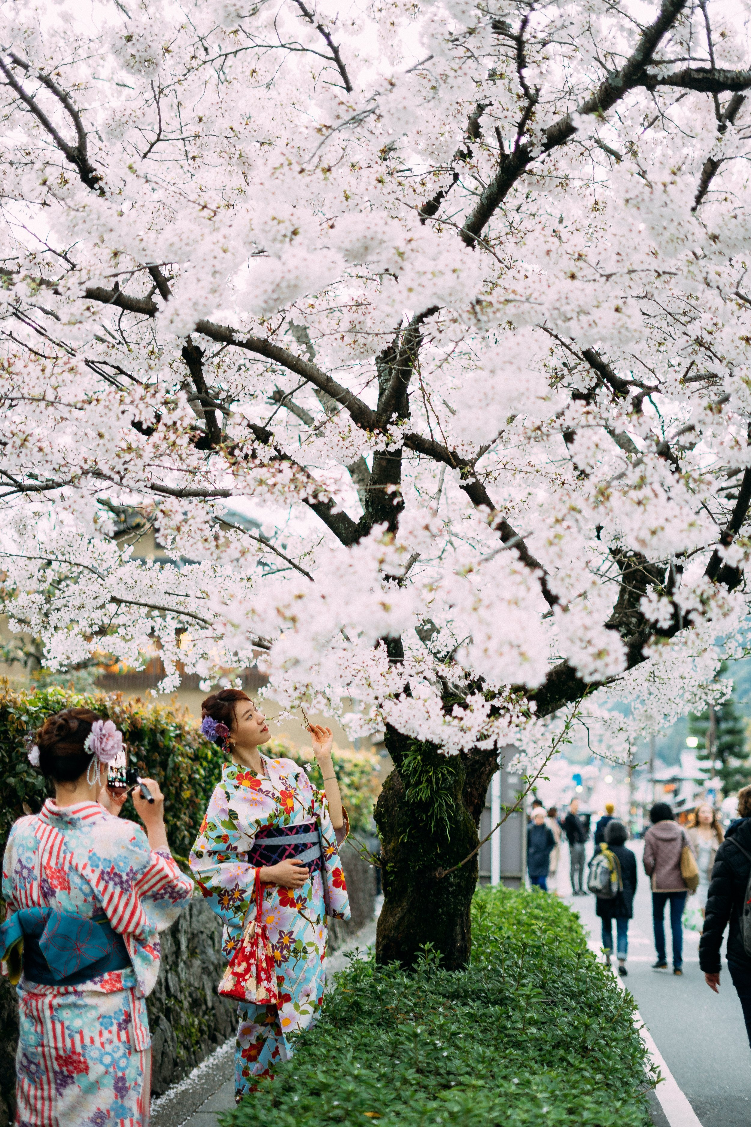 Japanese cherry blossom with girl wearing kimono standing underneath.jpg